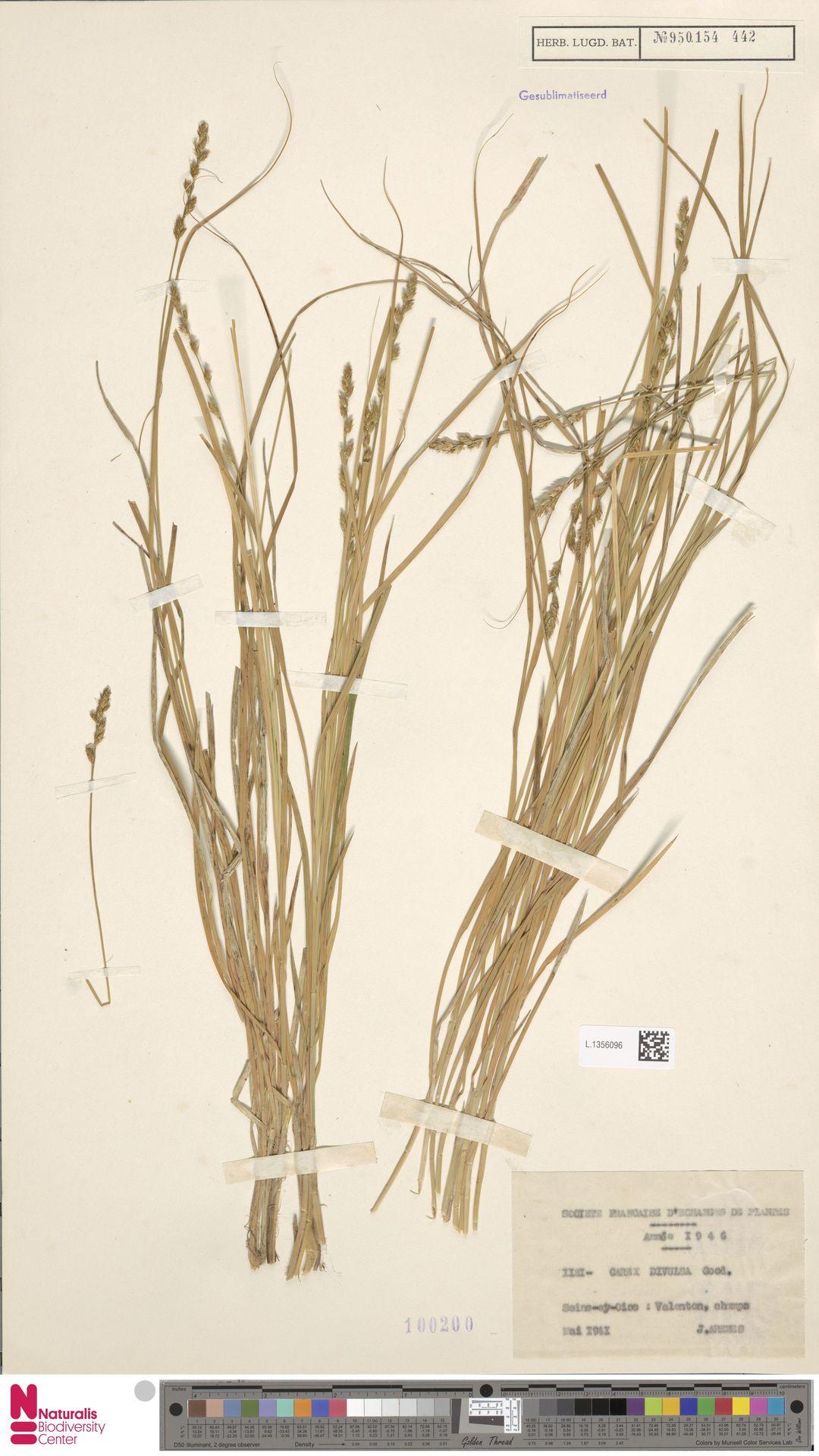 L.1356096 | Carex divulsa Stokes