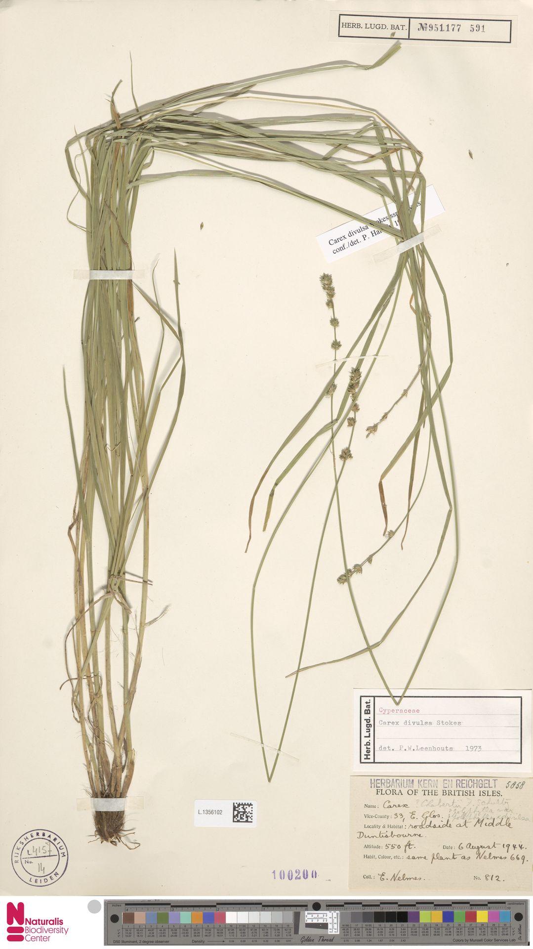 L.1356102   Carex divulsa Stokes