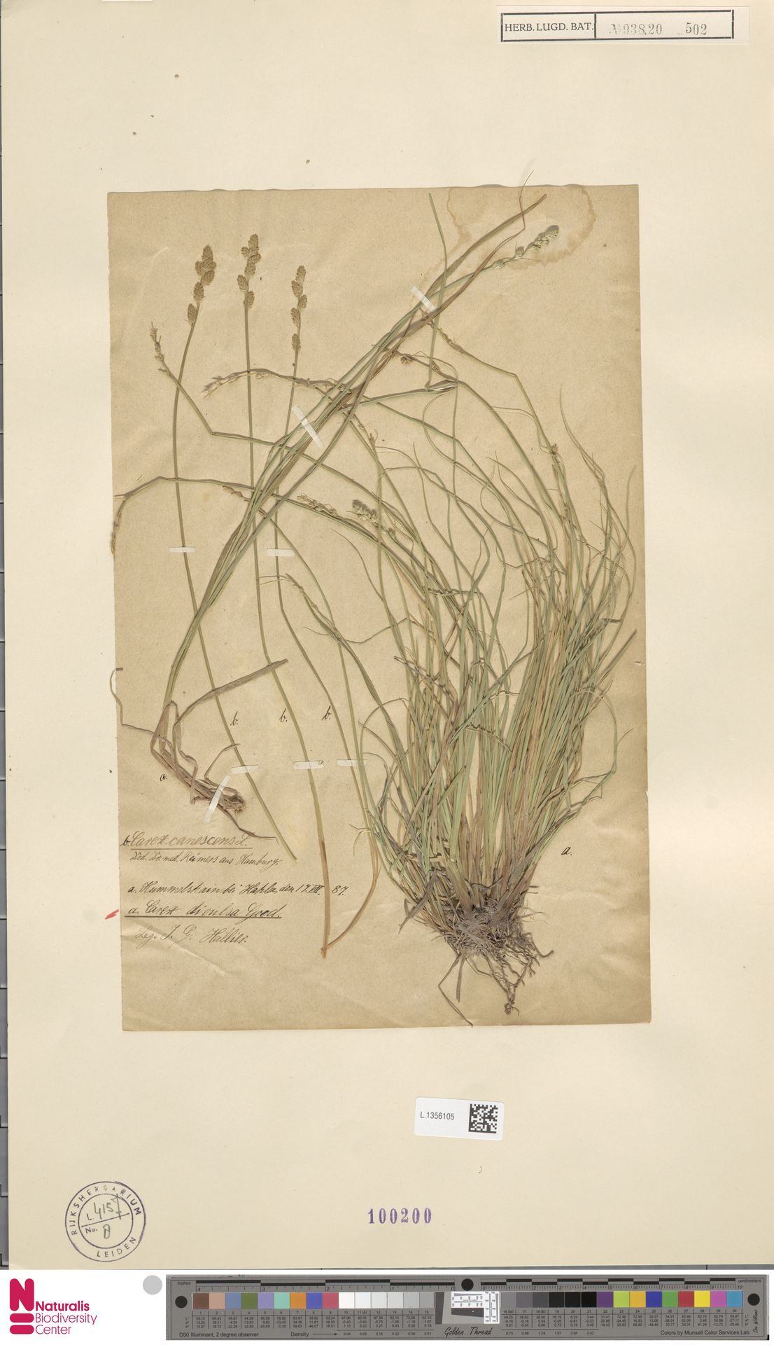 L.1356105 | Carex divulsa Stokes