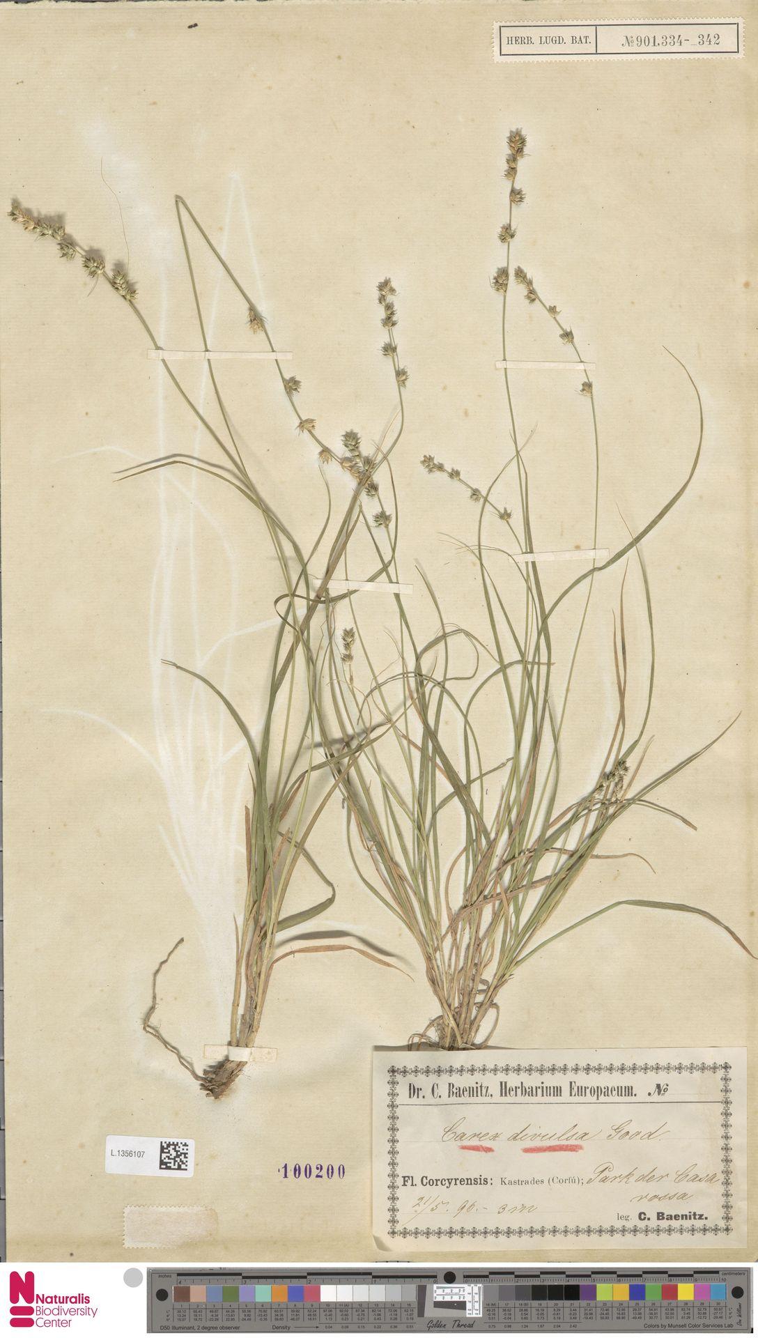L.1356107 | Carex divulsa Stokes