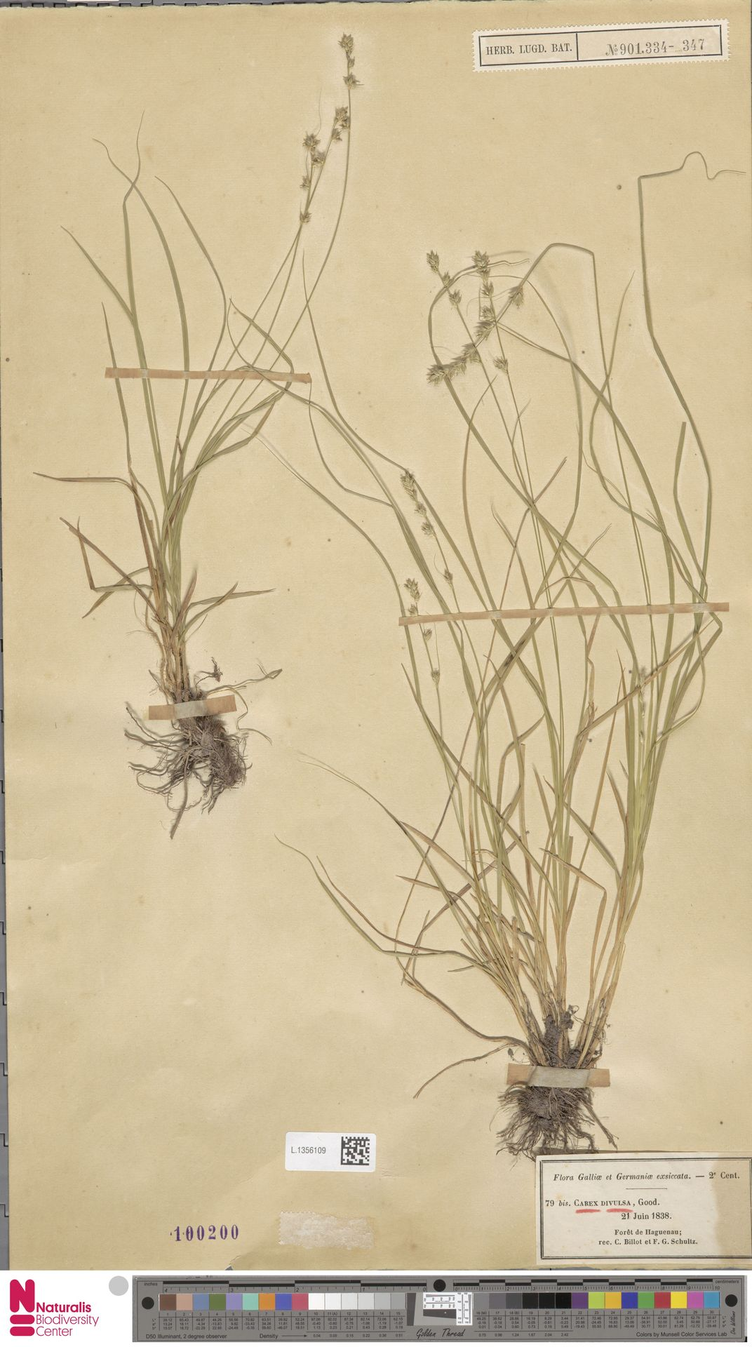 L.1356109 | Carex divulsa Stokes