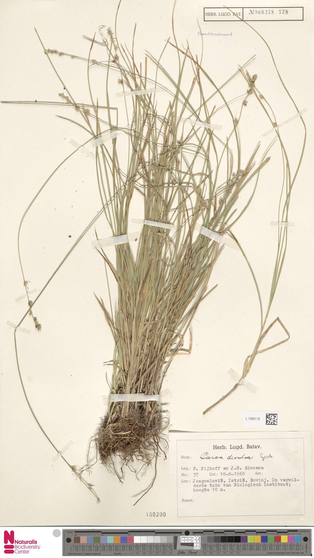 L.1356119 | Carex divulsa Stokes