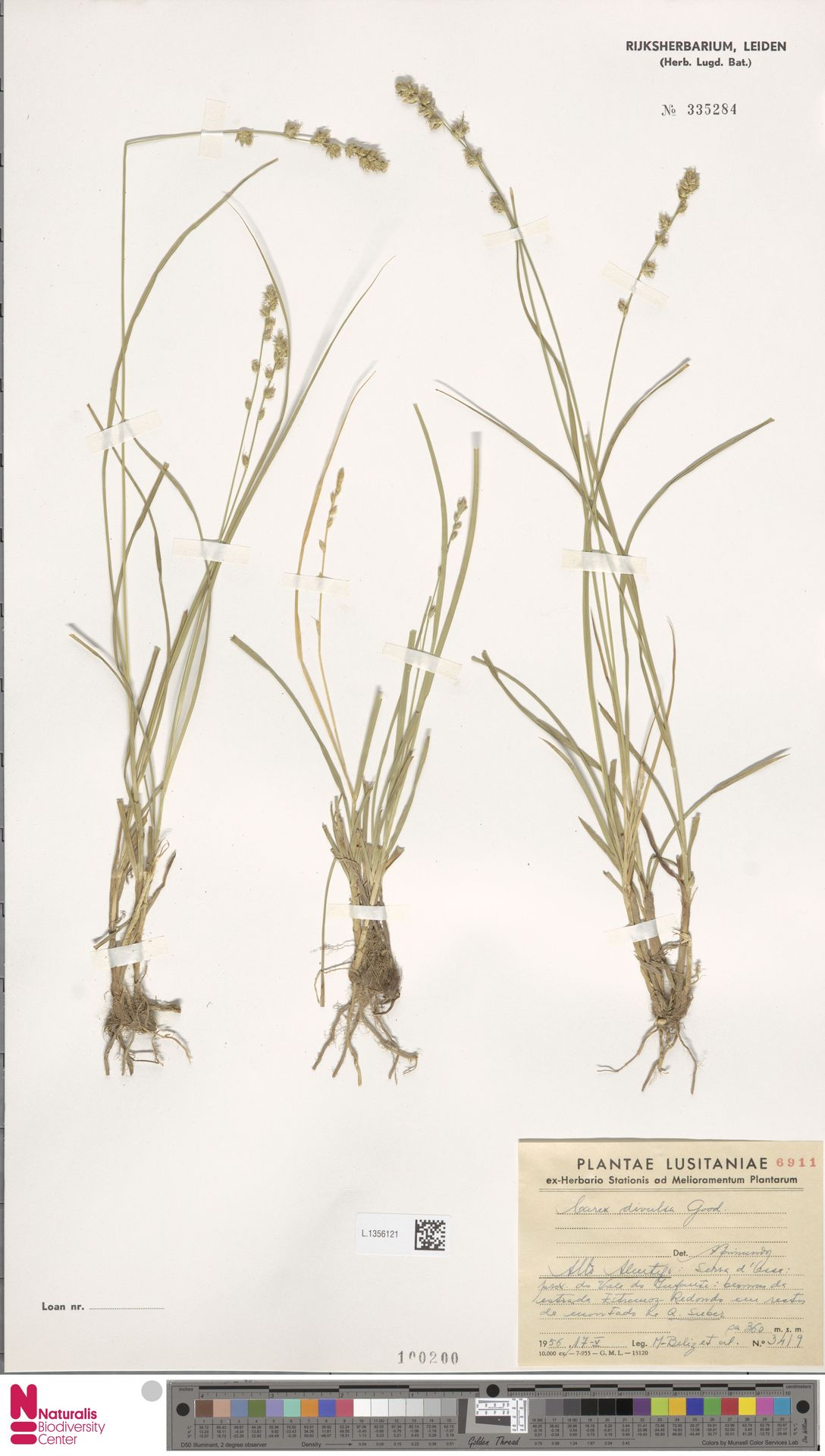 L.1356121 | Carex divulsa Stokes