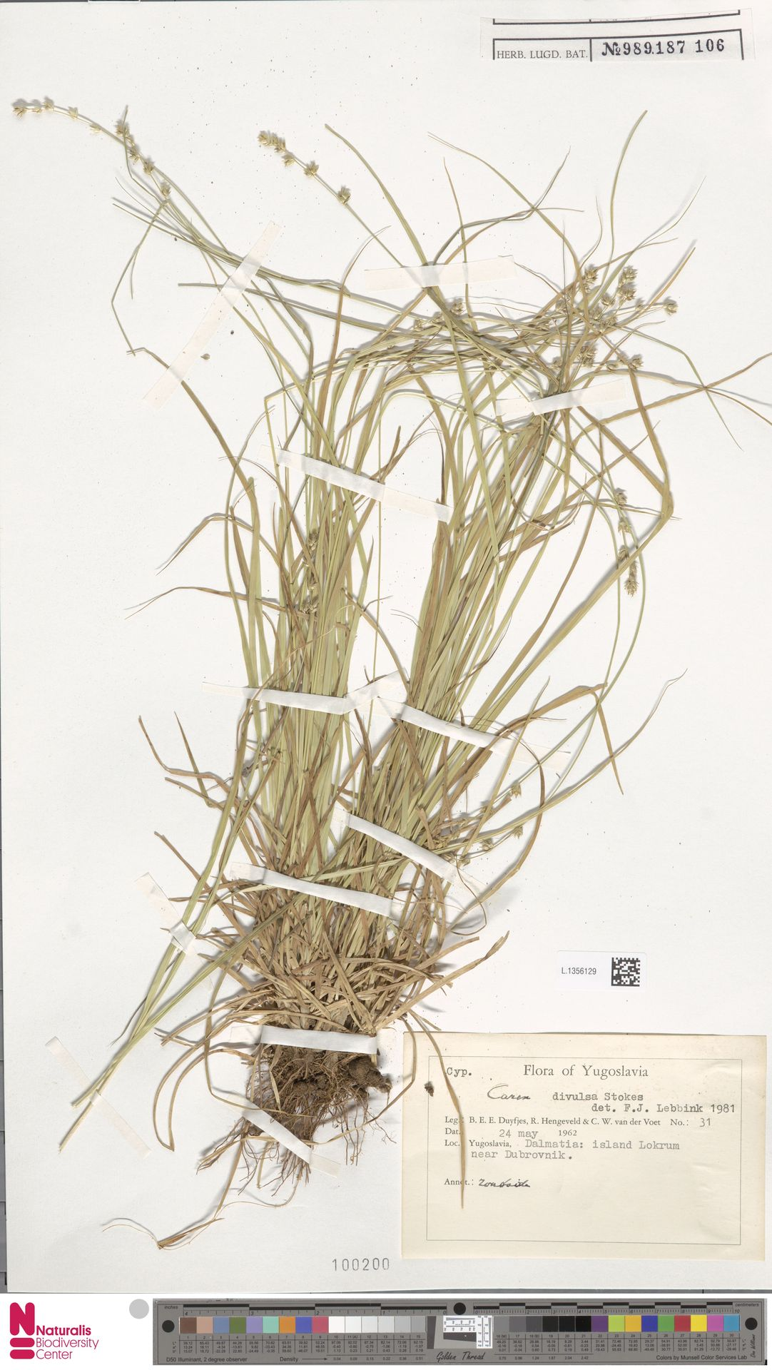 L.1356129 | Carex divulsa Stokes