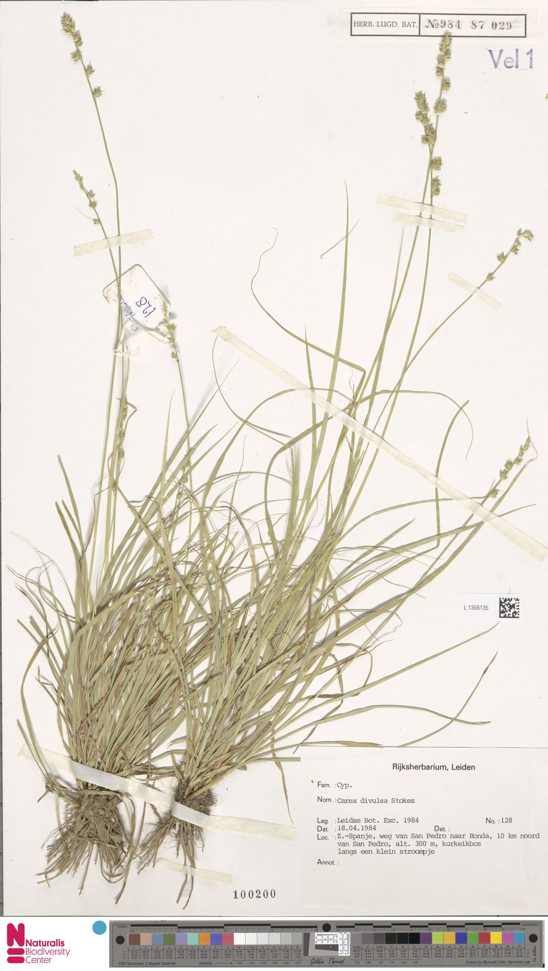 L.1356135 | Carex divulsa Stokes
