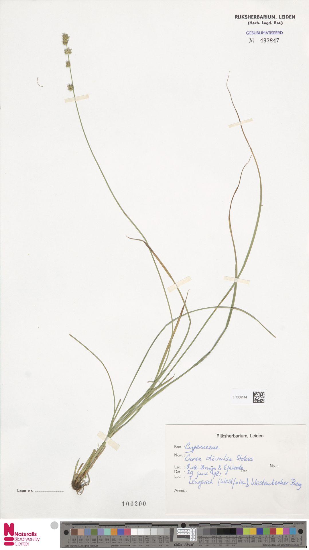 L.1356144 | Carex divulsa Stokes