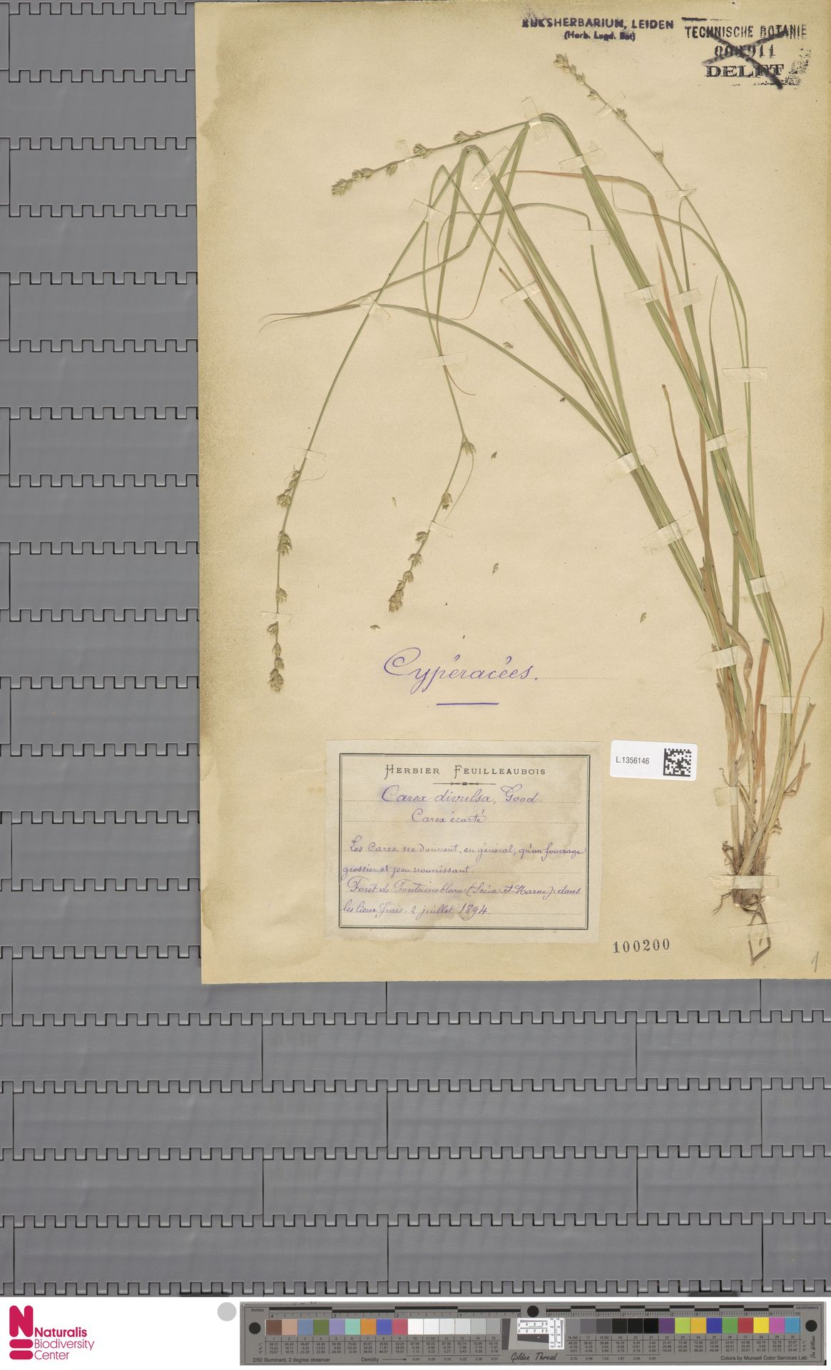 L.1356146 | Carex divulsa Stokes