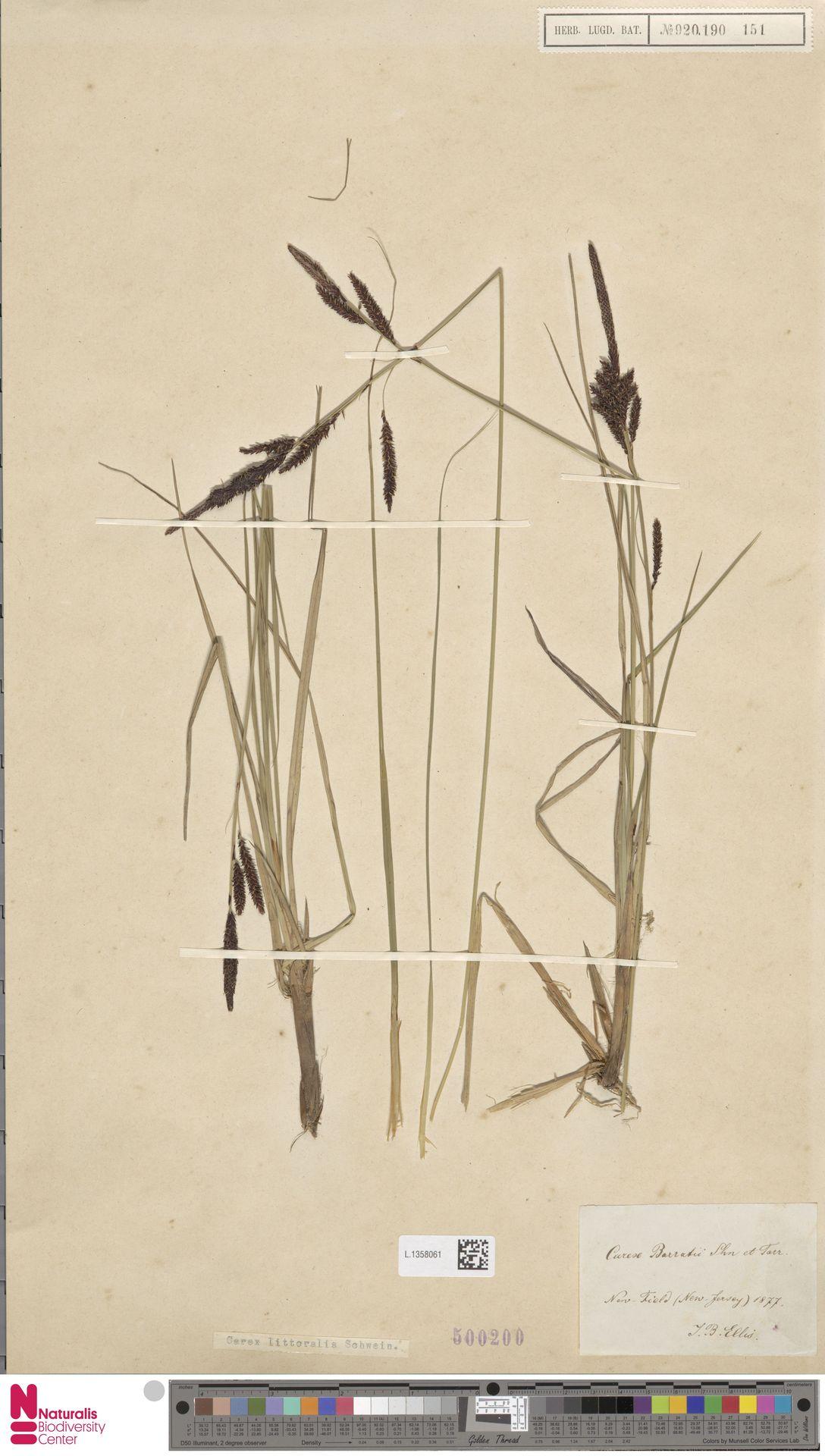 L.1358061 | Carex littoralis Krock.
