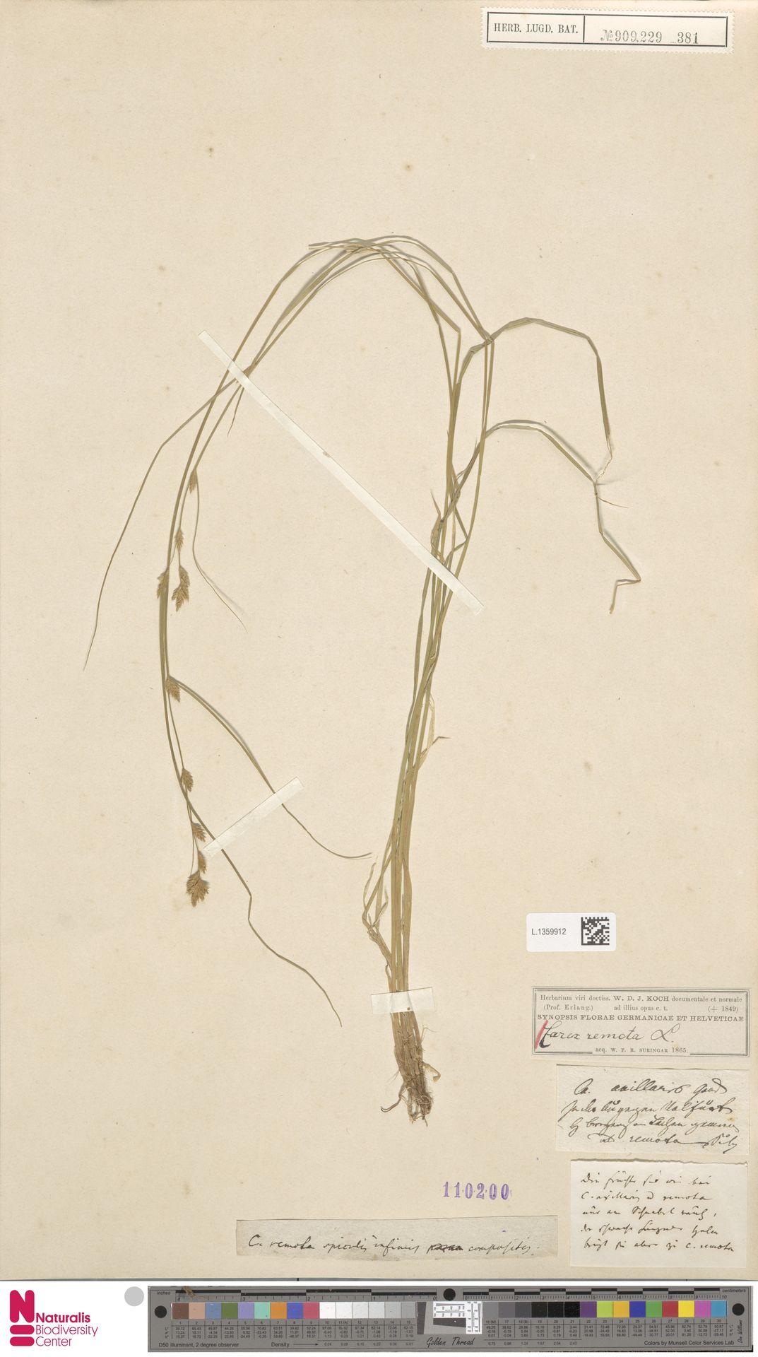 L.1359912 | Carex remota L.
