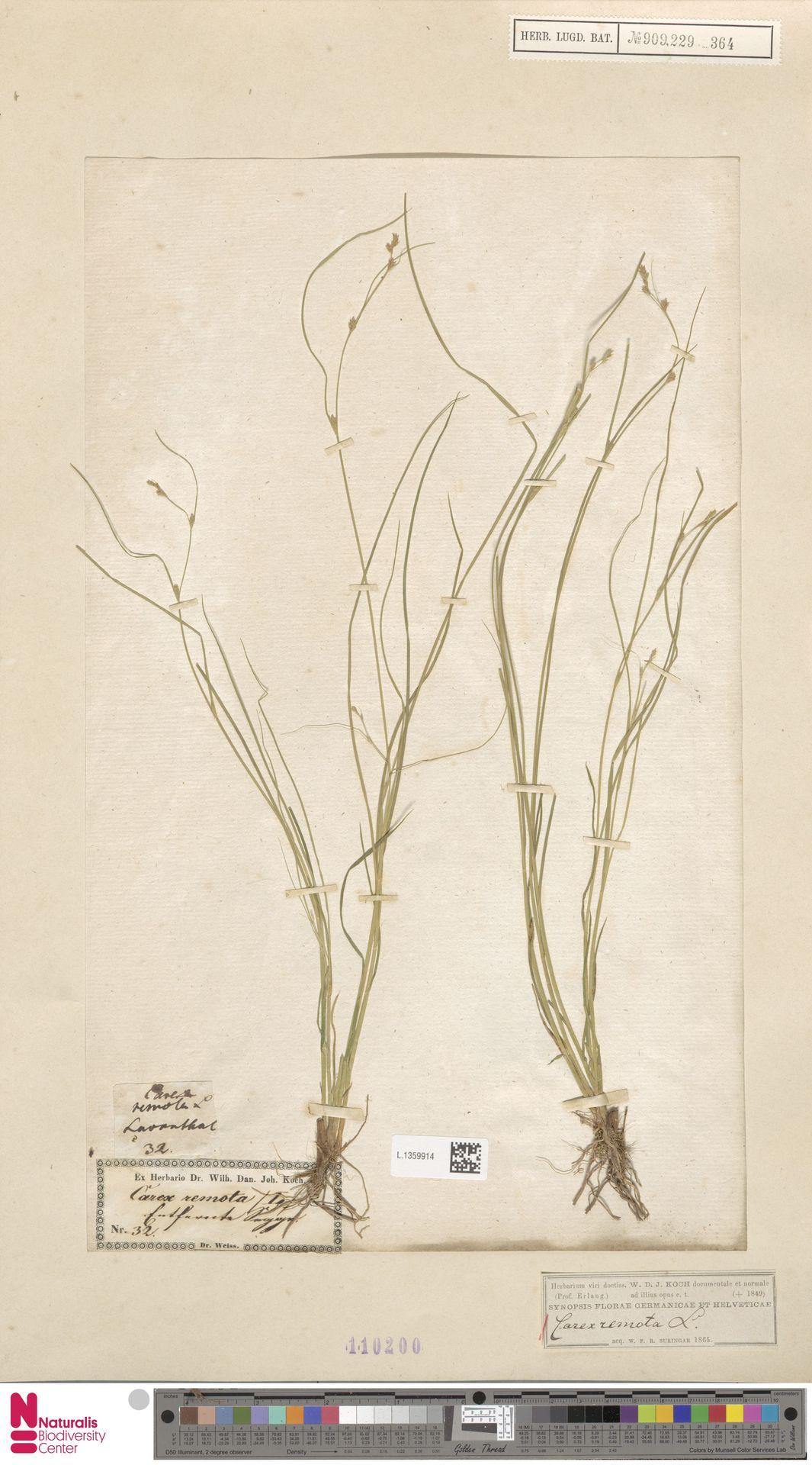 L.1359914 | Carex remota L.