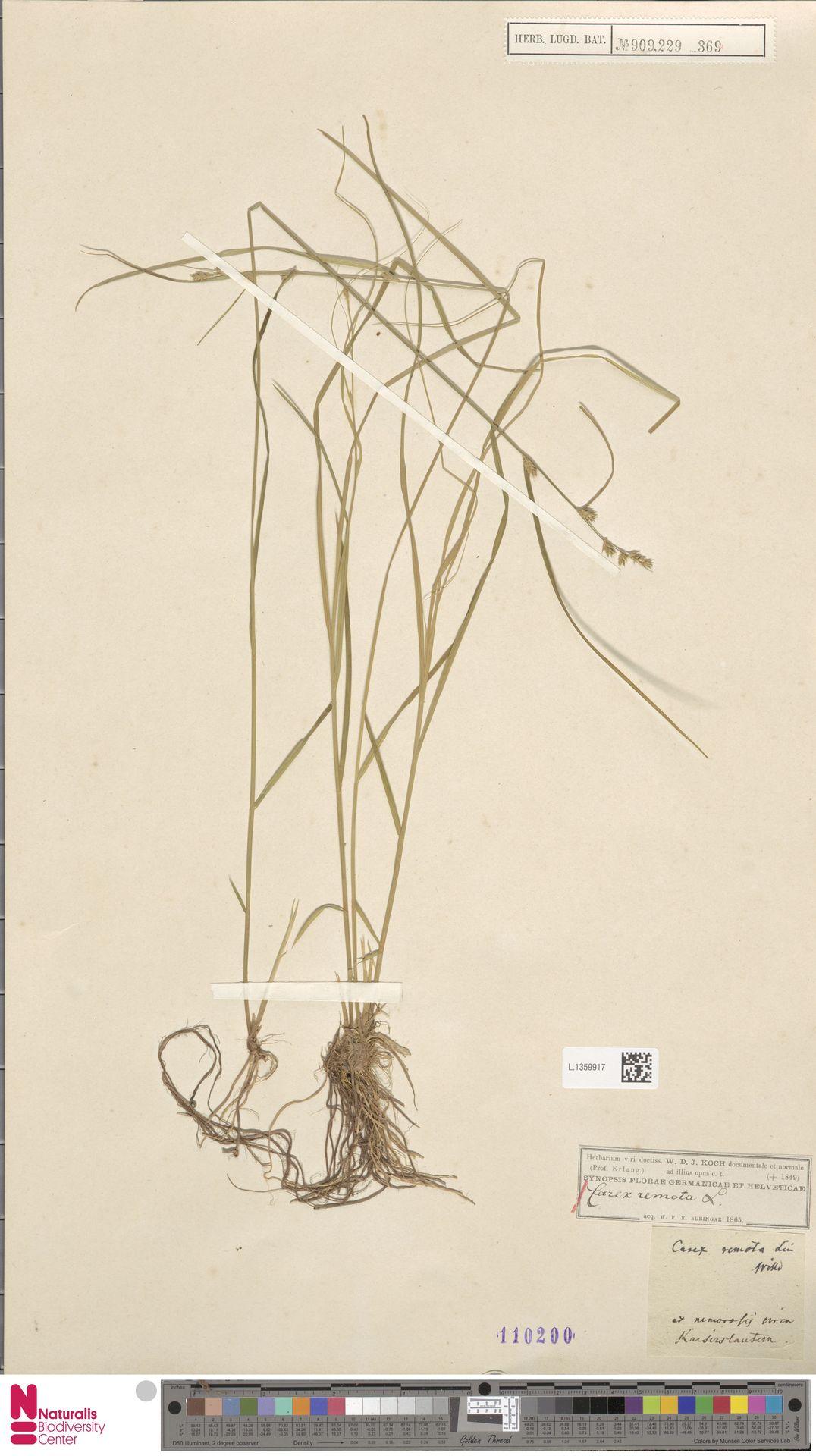 L.1359917 | Carex remota L.