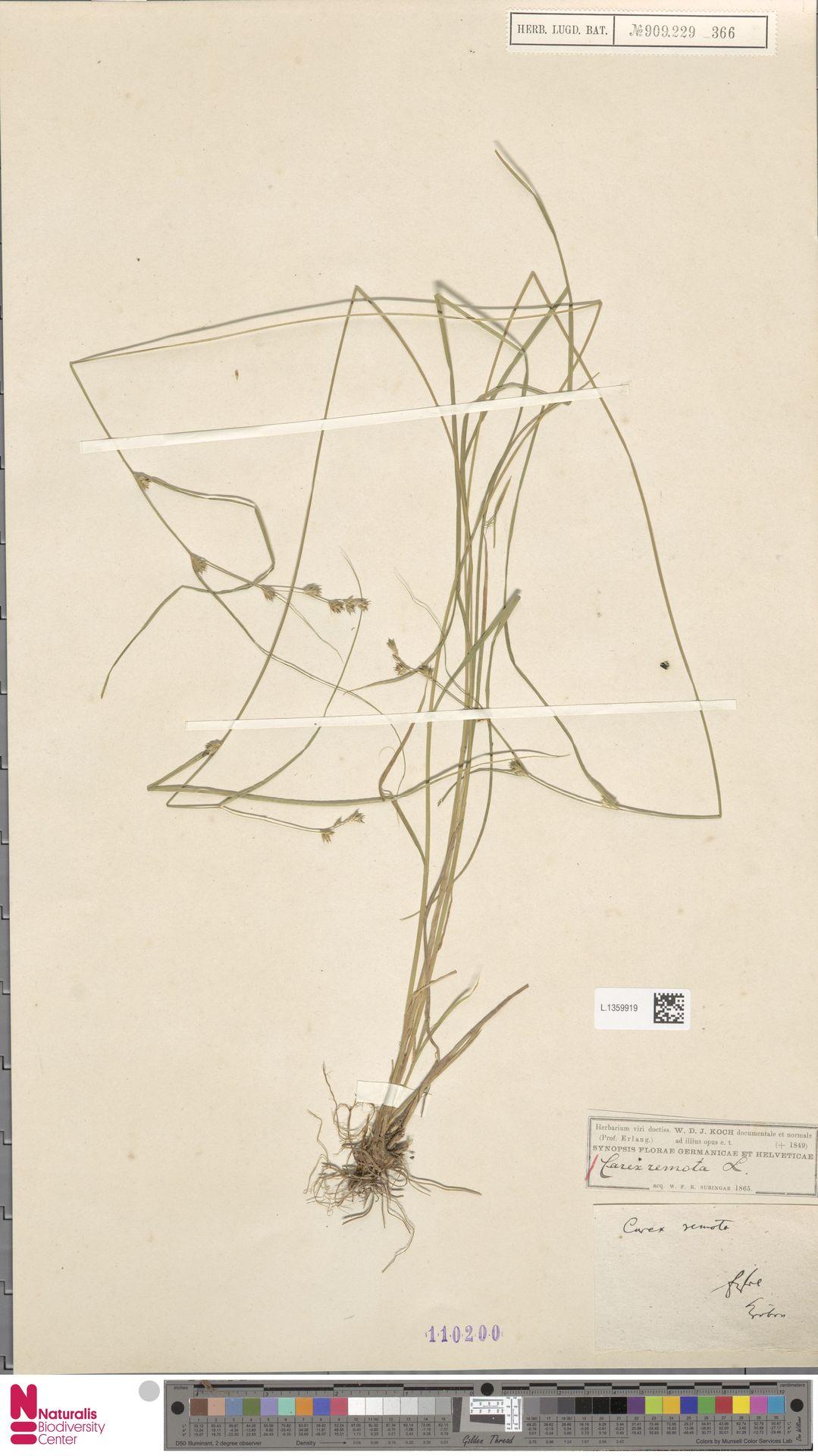 L.1359919 | Carex remota L.