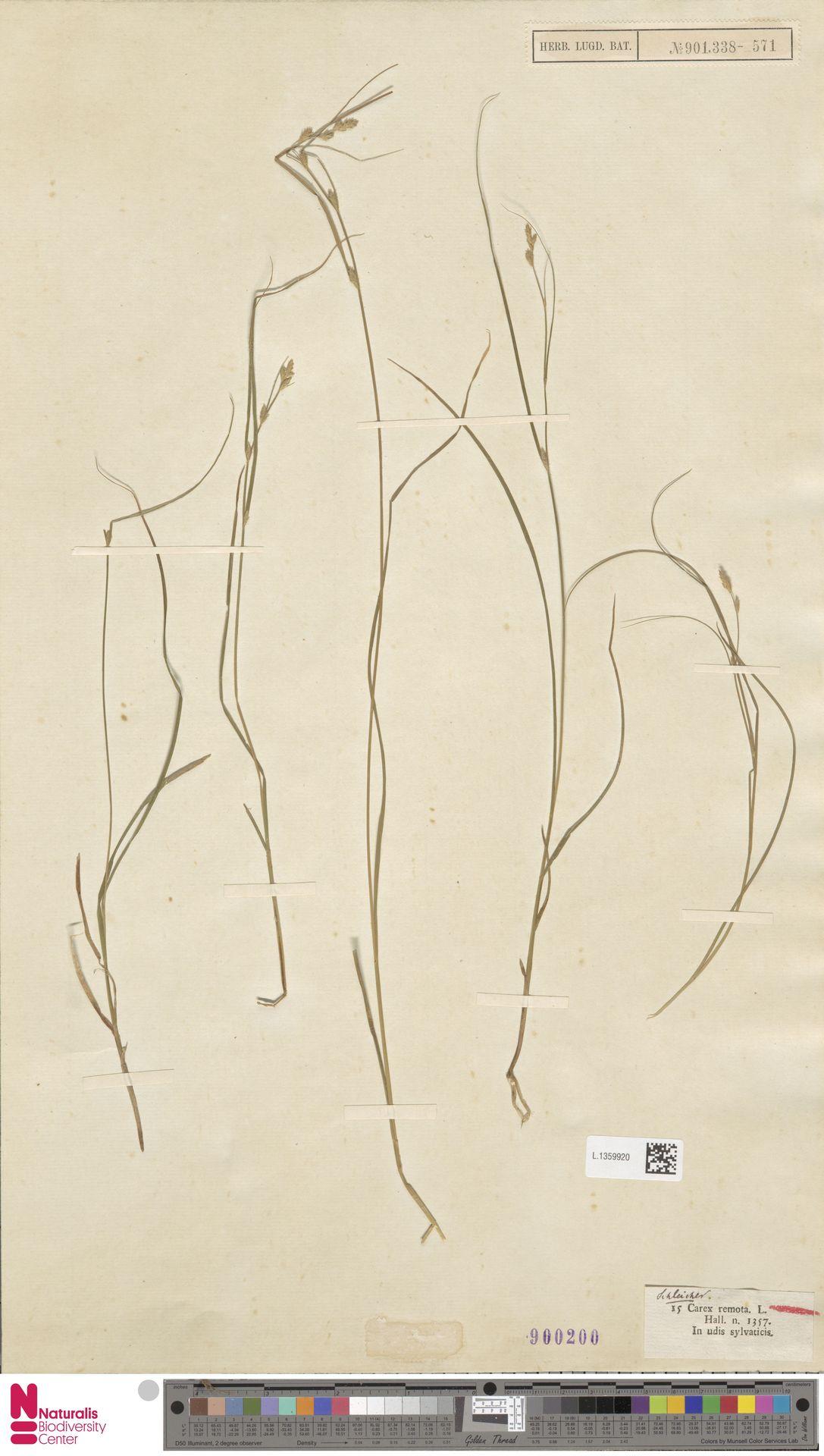 L.1359920 | Carex remota L.