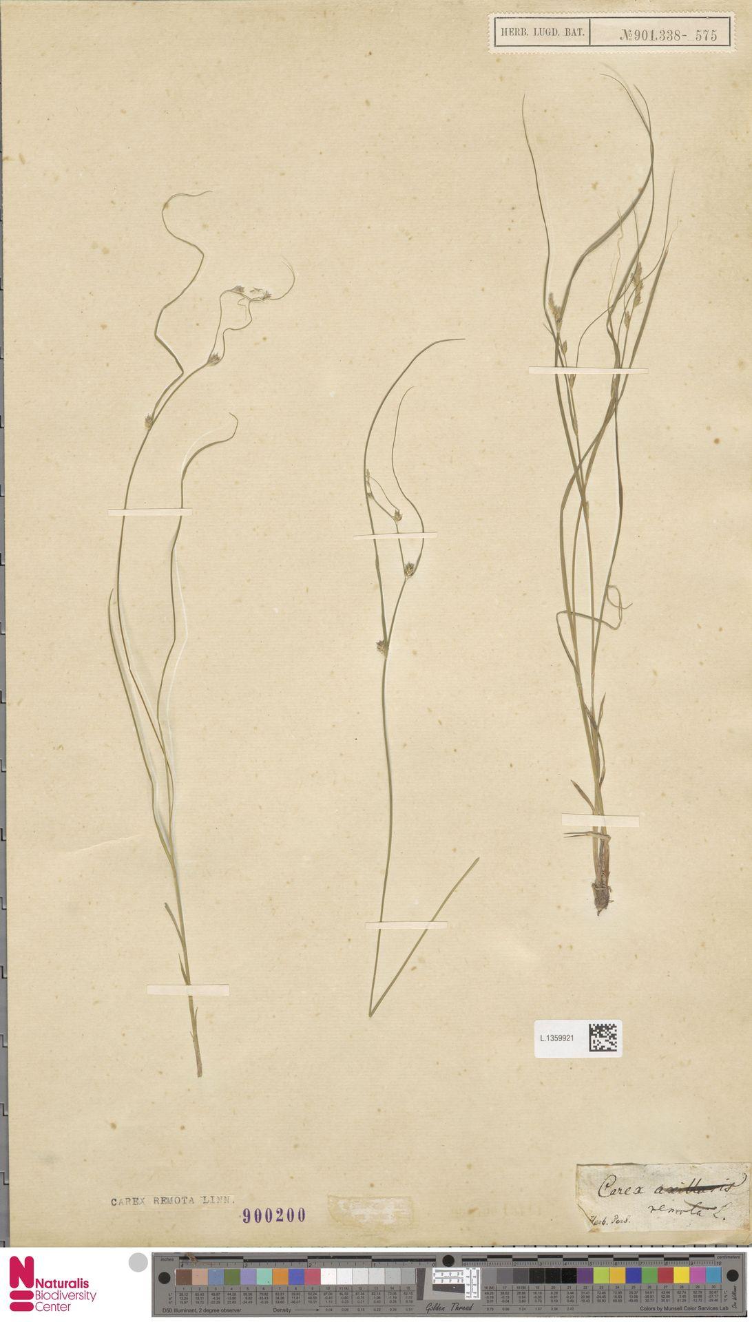 L.1359921 | Carex remota L.