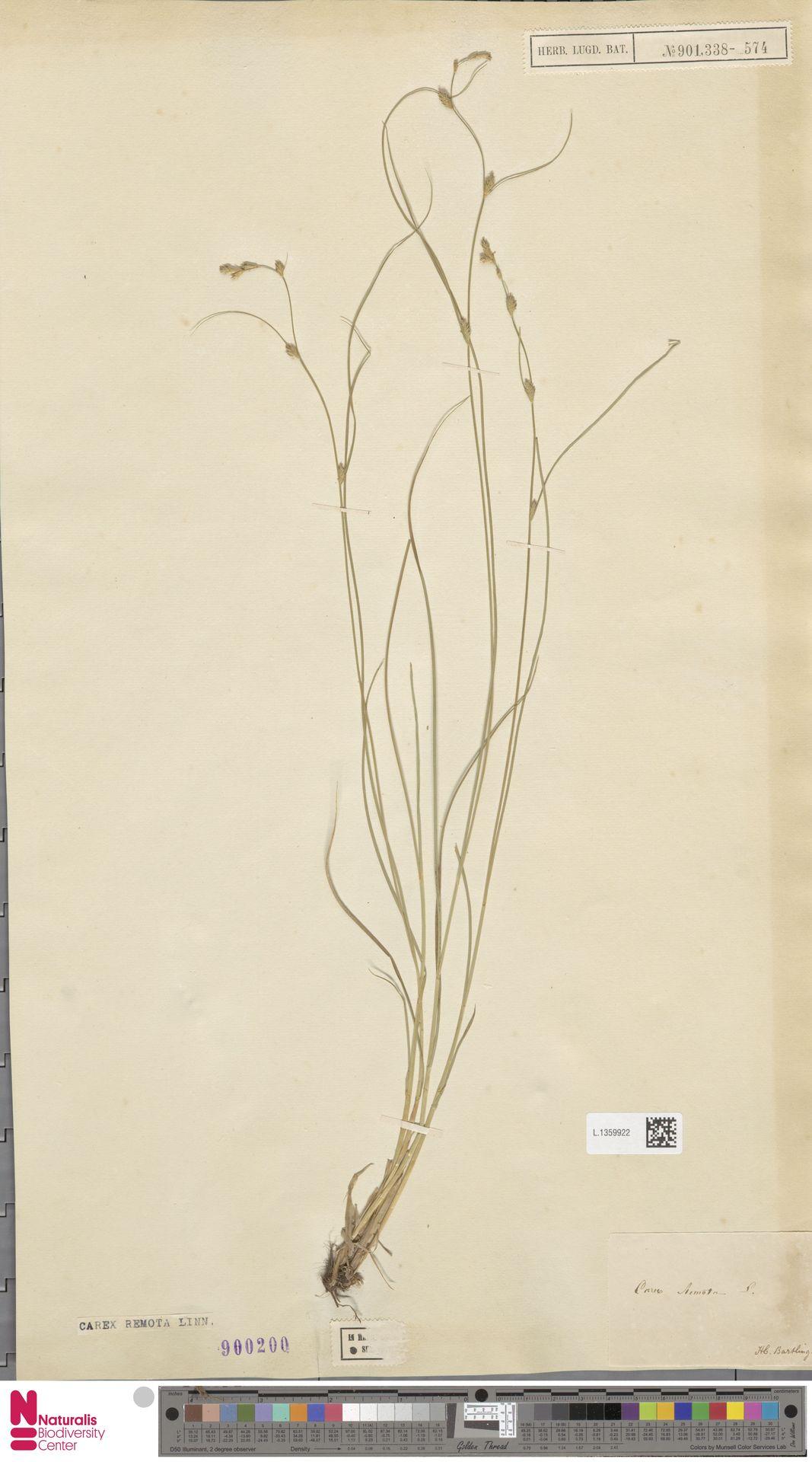 L.1359922 | Carex remota L.