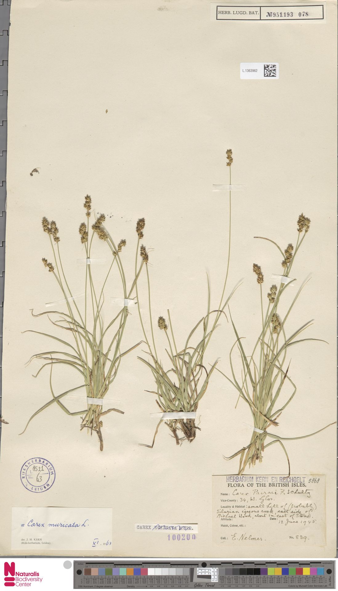 L.1363962 | Carex divulsa Stokes