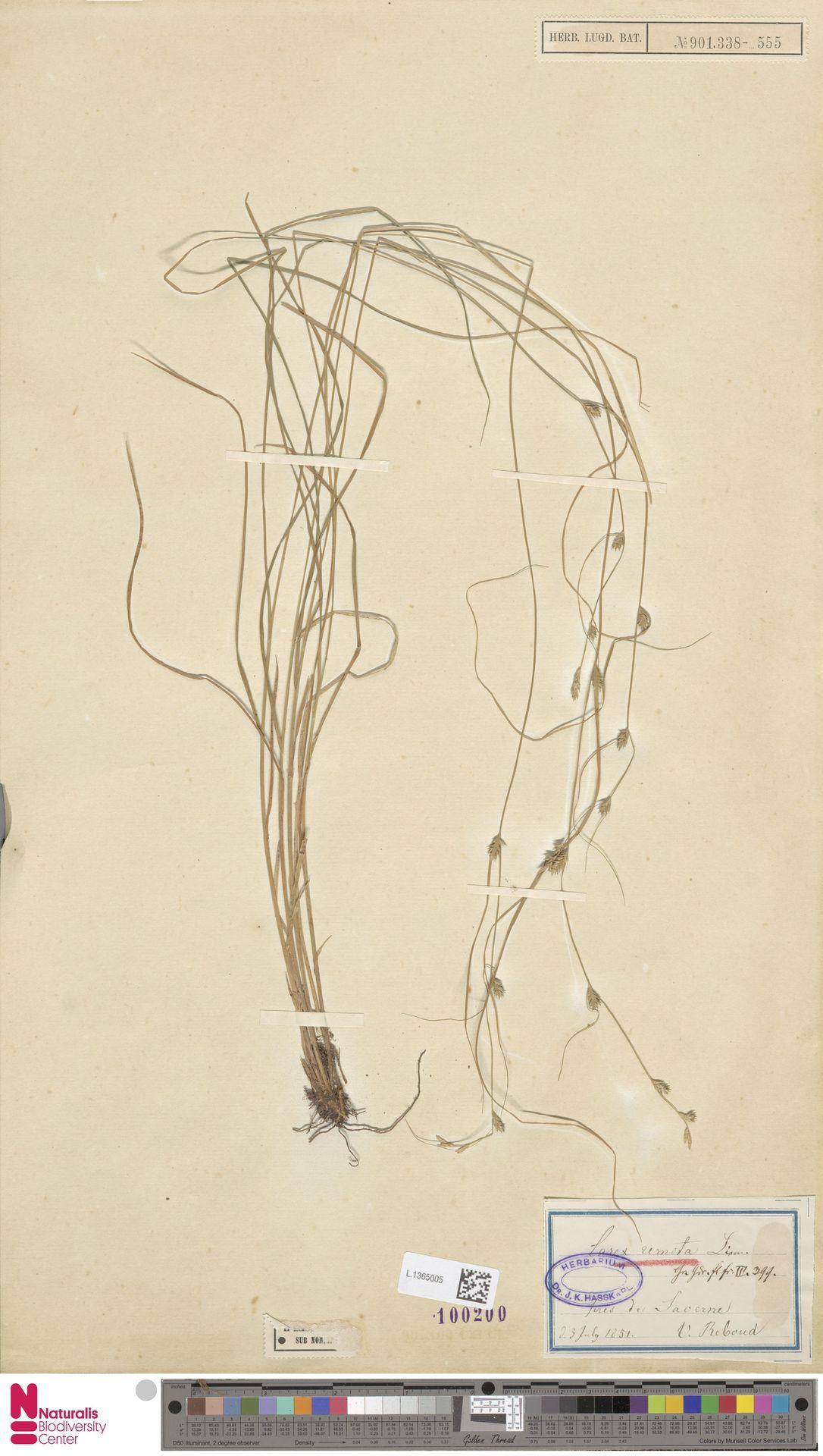 L.1365005 | Carex remota L.