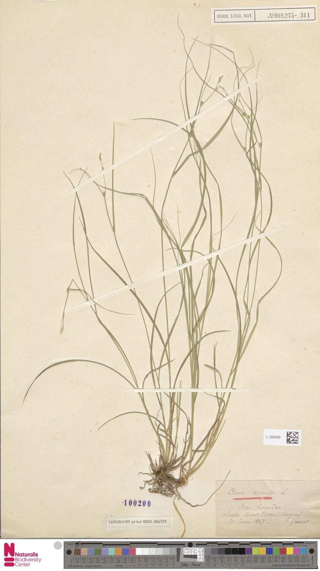 L.1365009 | Carex remota L.