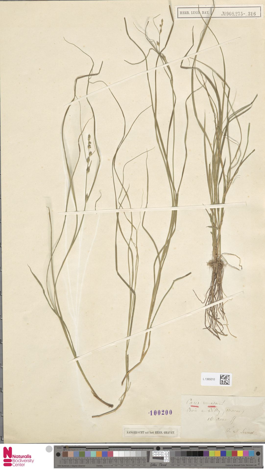 L.1365010 | Carex remota L.