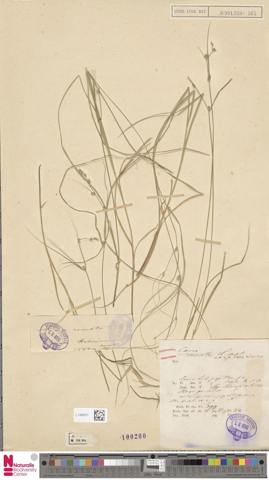 L.1365011 | Carex remota L.