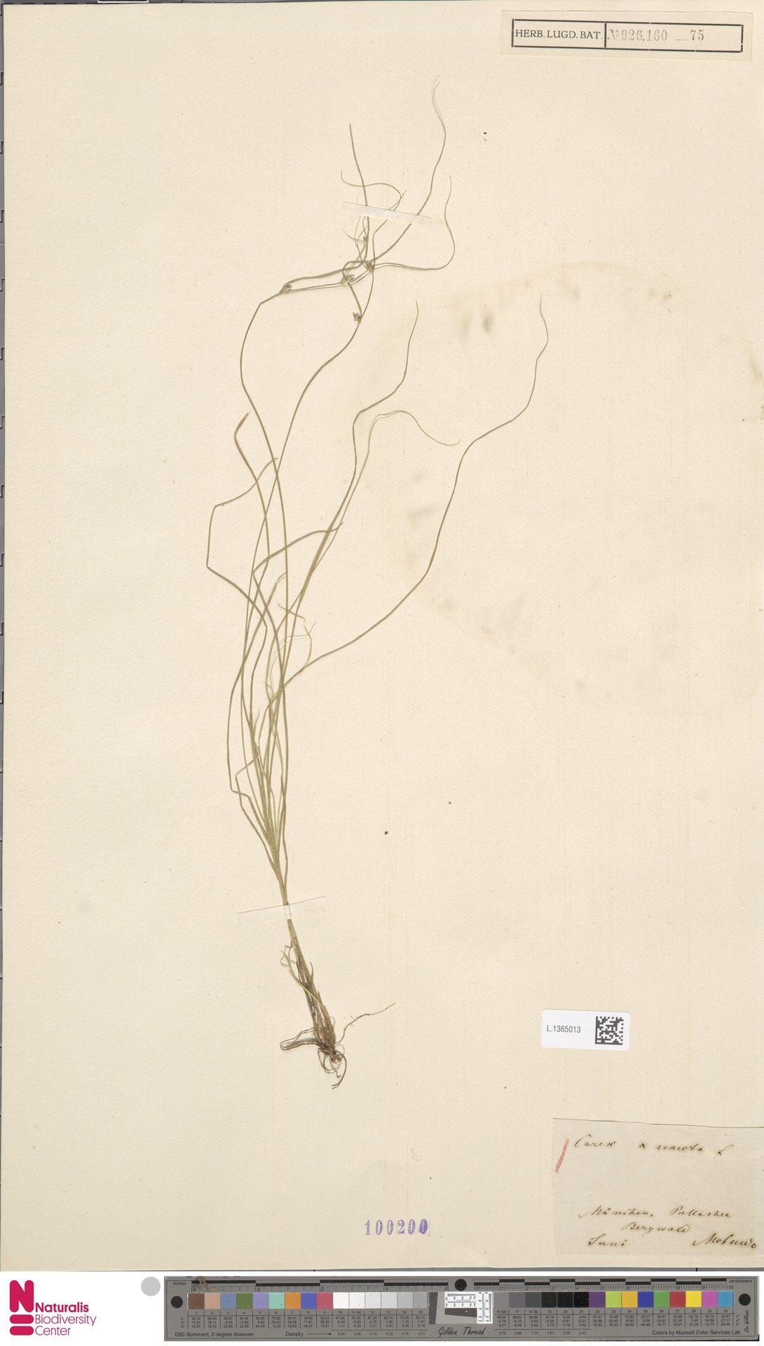 L.1365013 | Carex remota L.