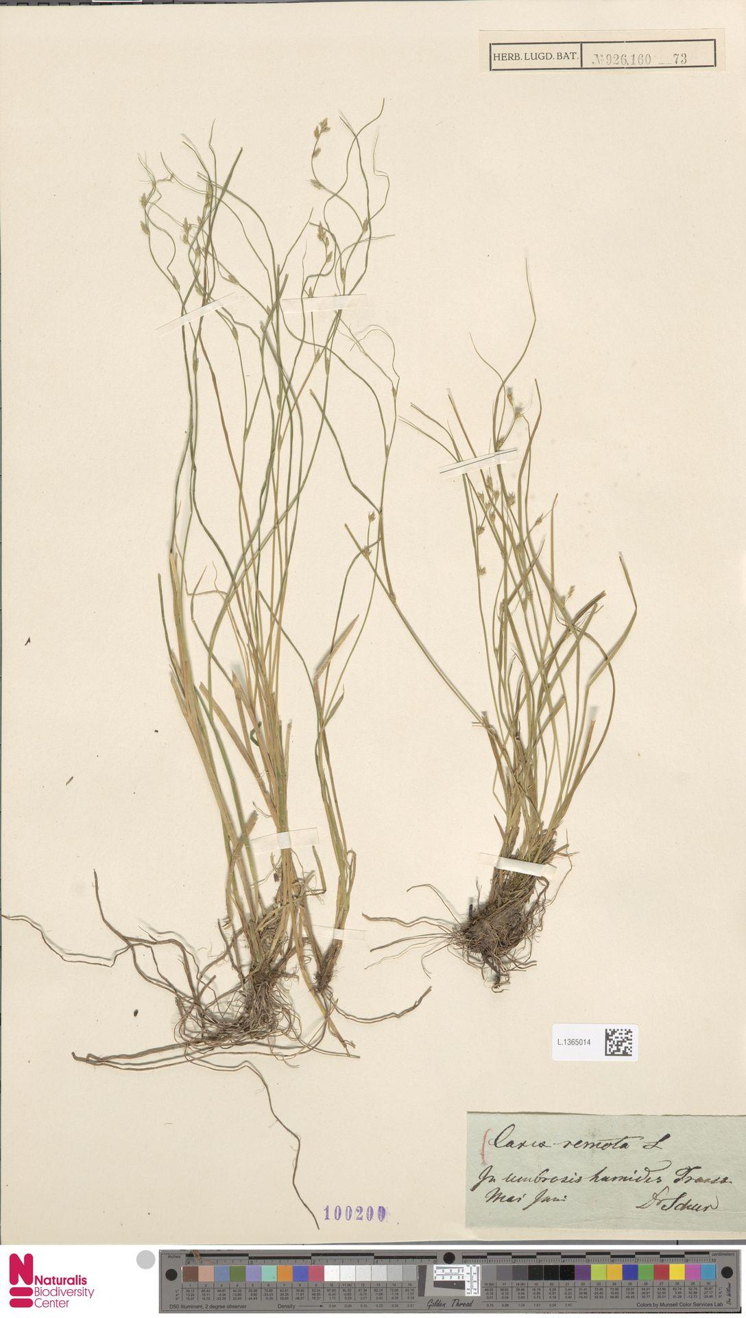 L.1365014 | Carex remota L.