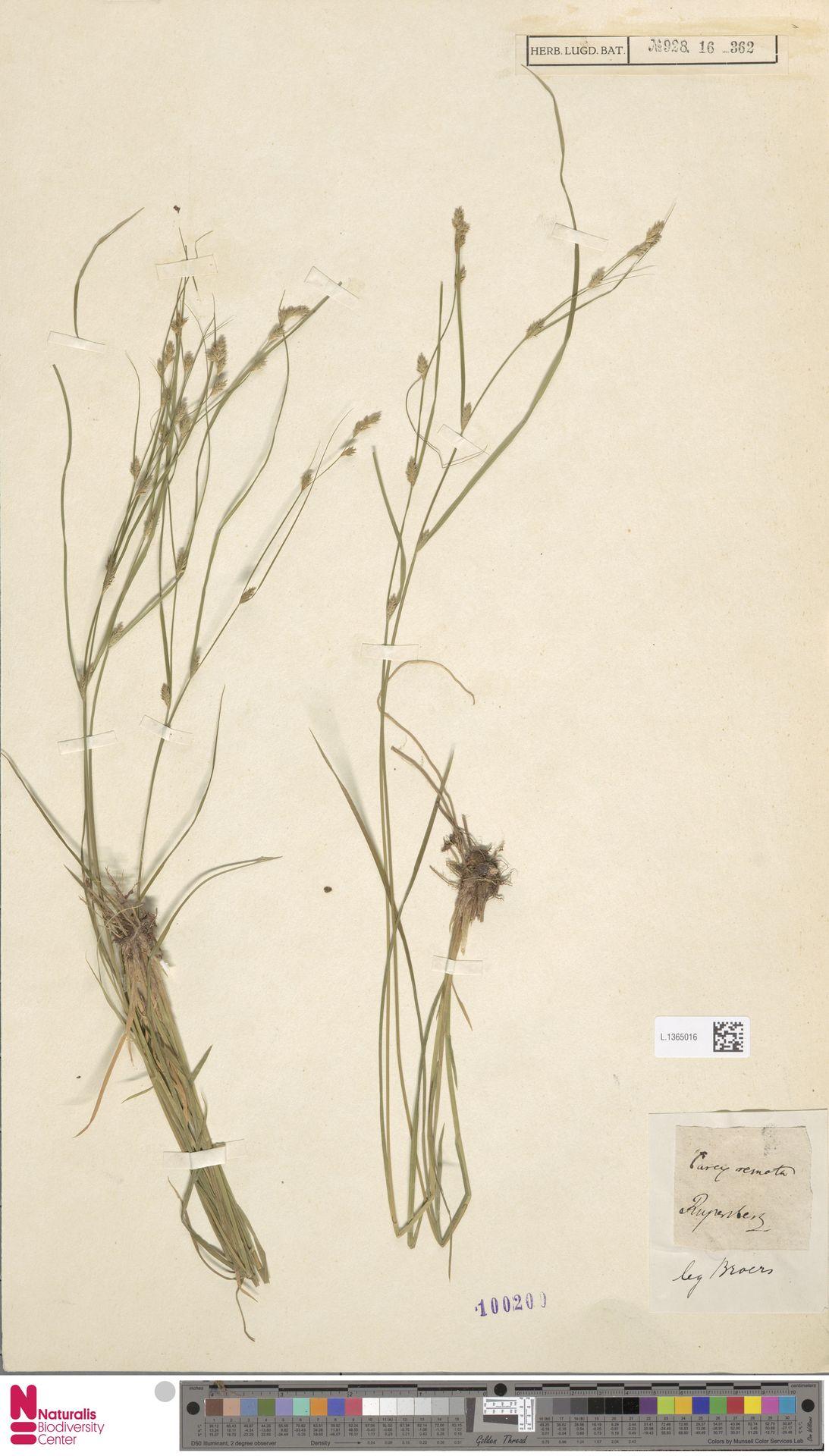 L.1365016 | Carex remota L.