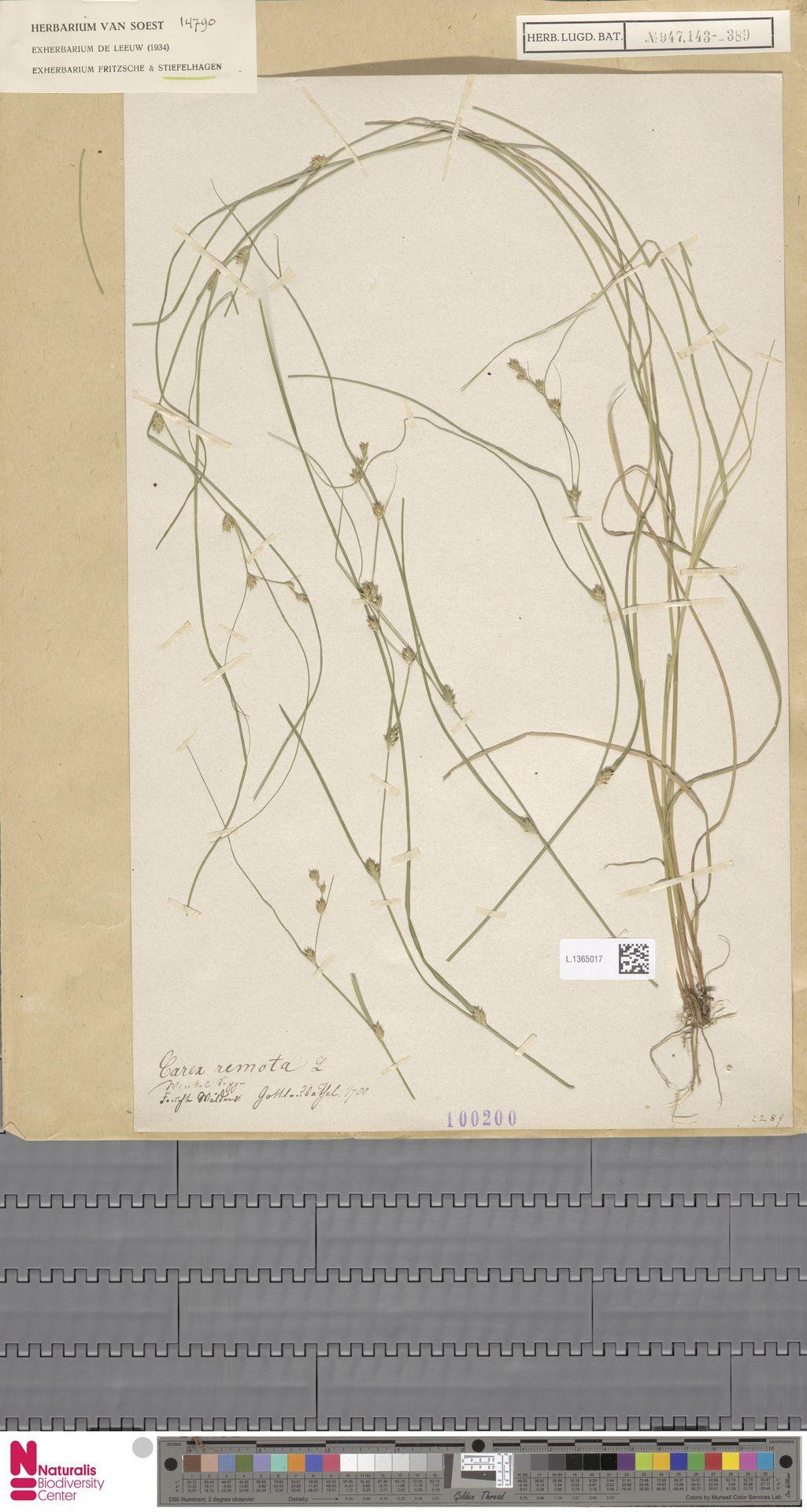 L.1365017 | Carex remota L.