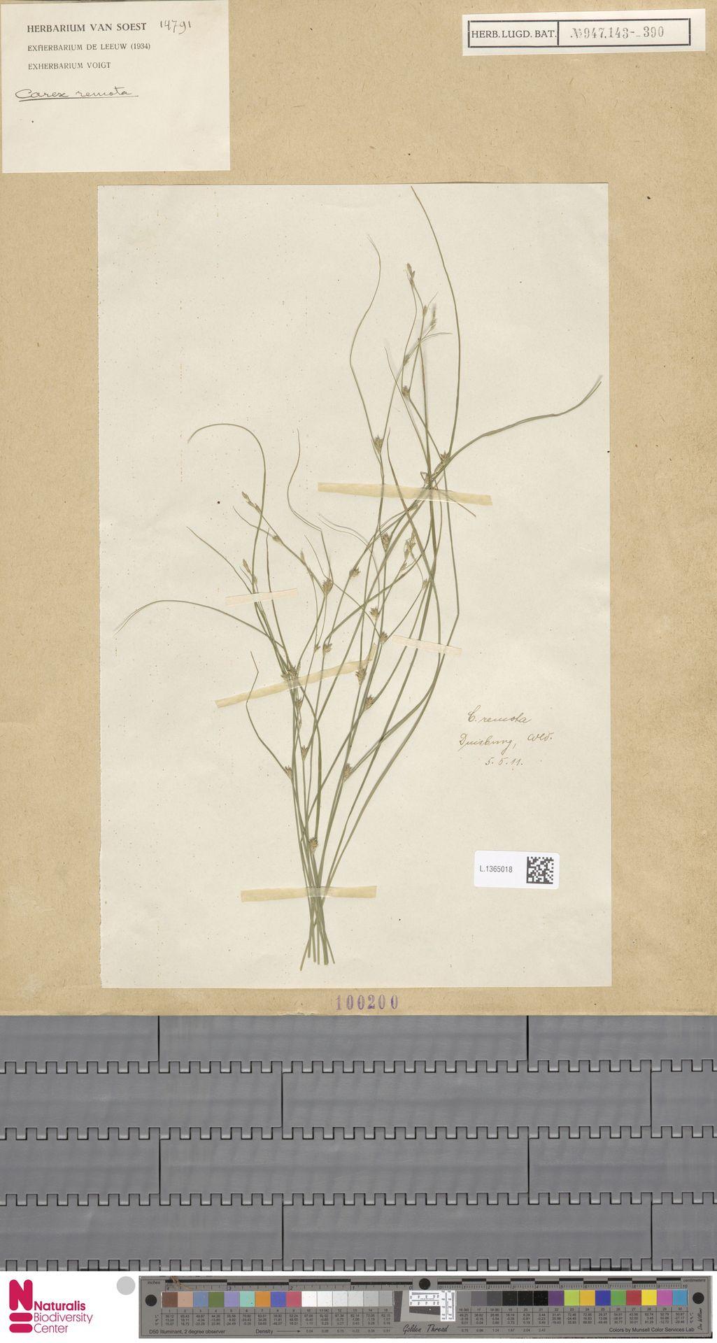 L.1365018 | Carex remota L.