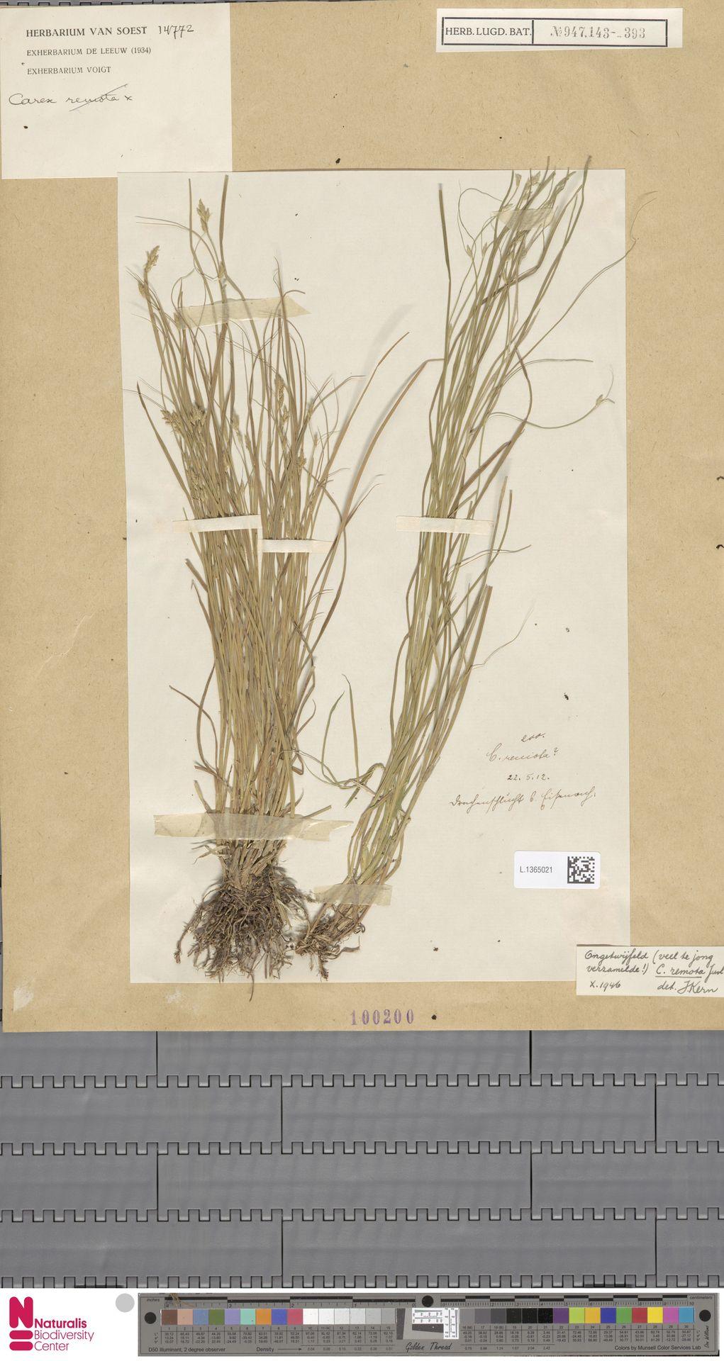 L.1365021 | Carex remota L.