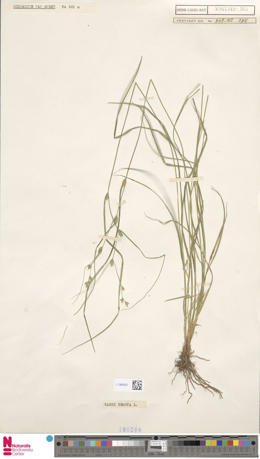L.1365023 | Carex remota L.