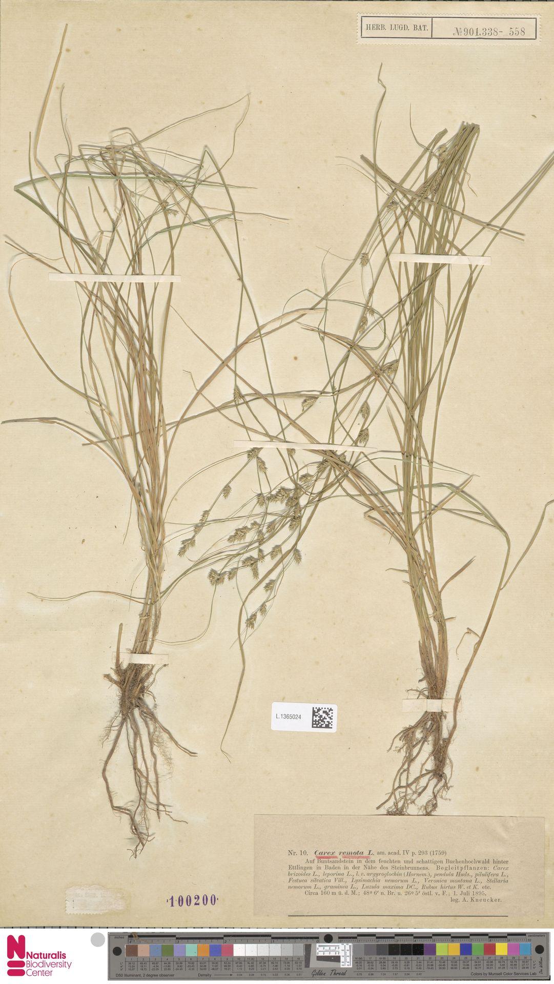 L.1365024 | Carex remota L.