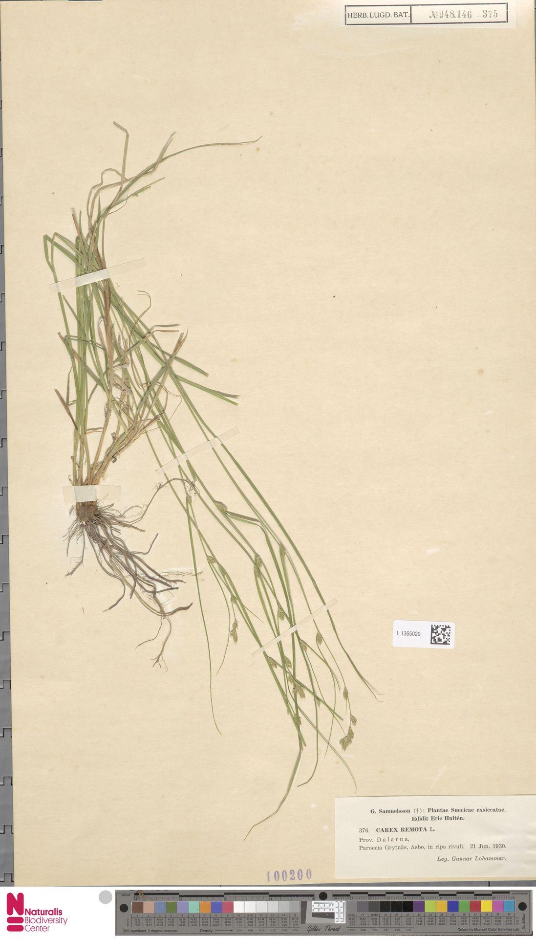 L.1365029 | Carex remota L.