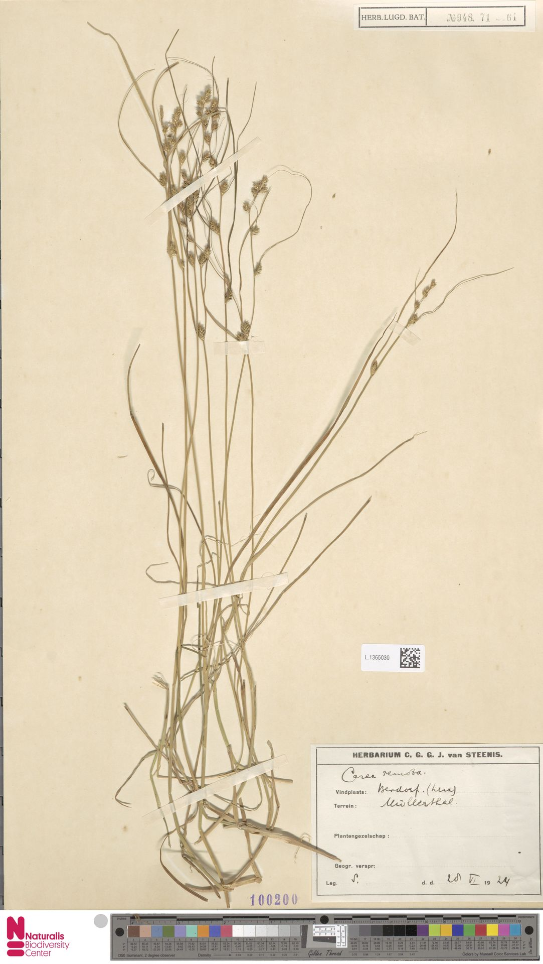 L.1365030 | Carex remota L.