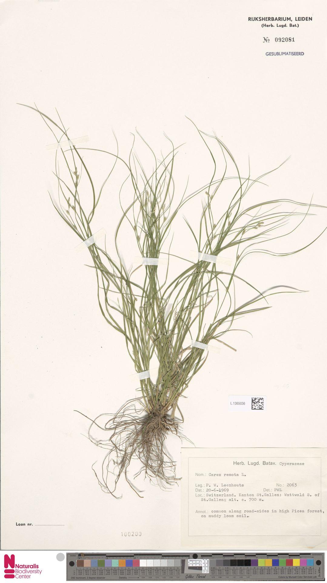 L.1365036   Carex remota L.