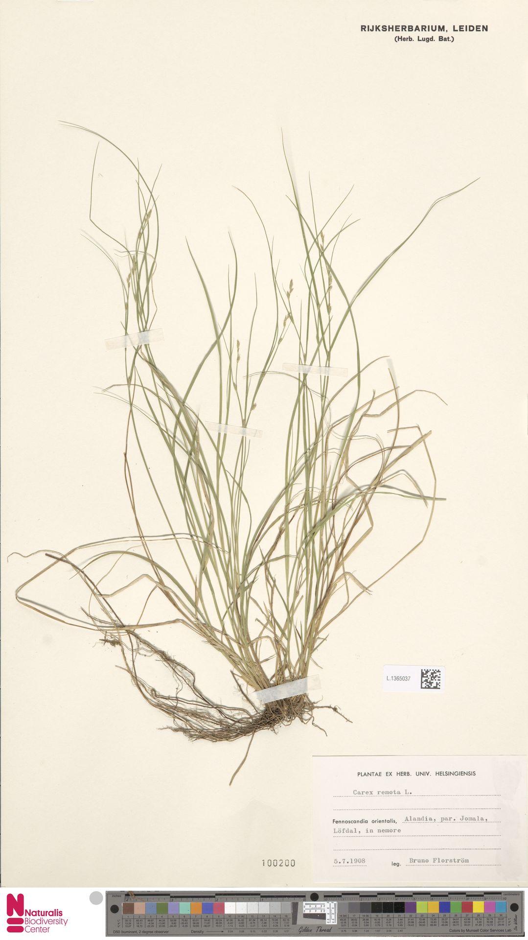 L.1365037 | Carex remota L.