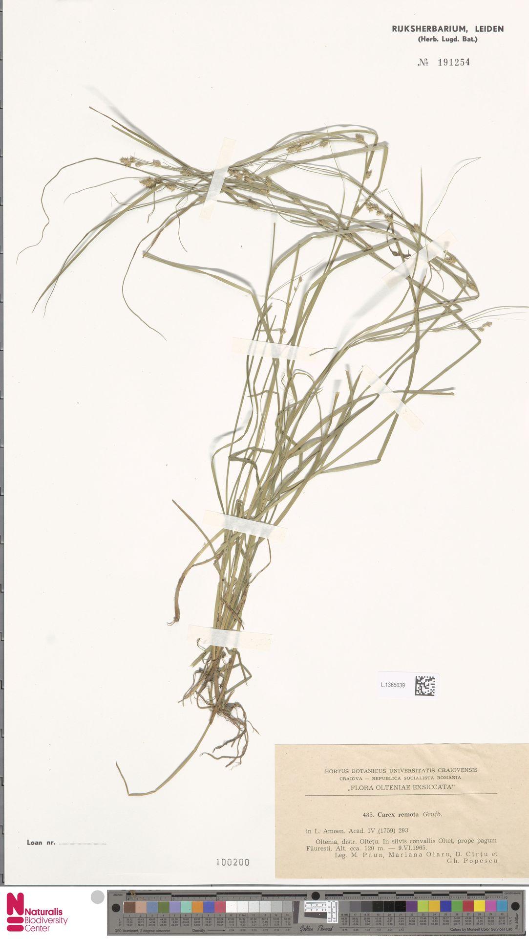 L.1365039 | Carex remota L.