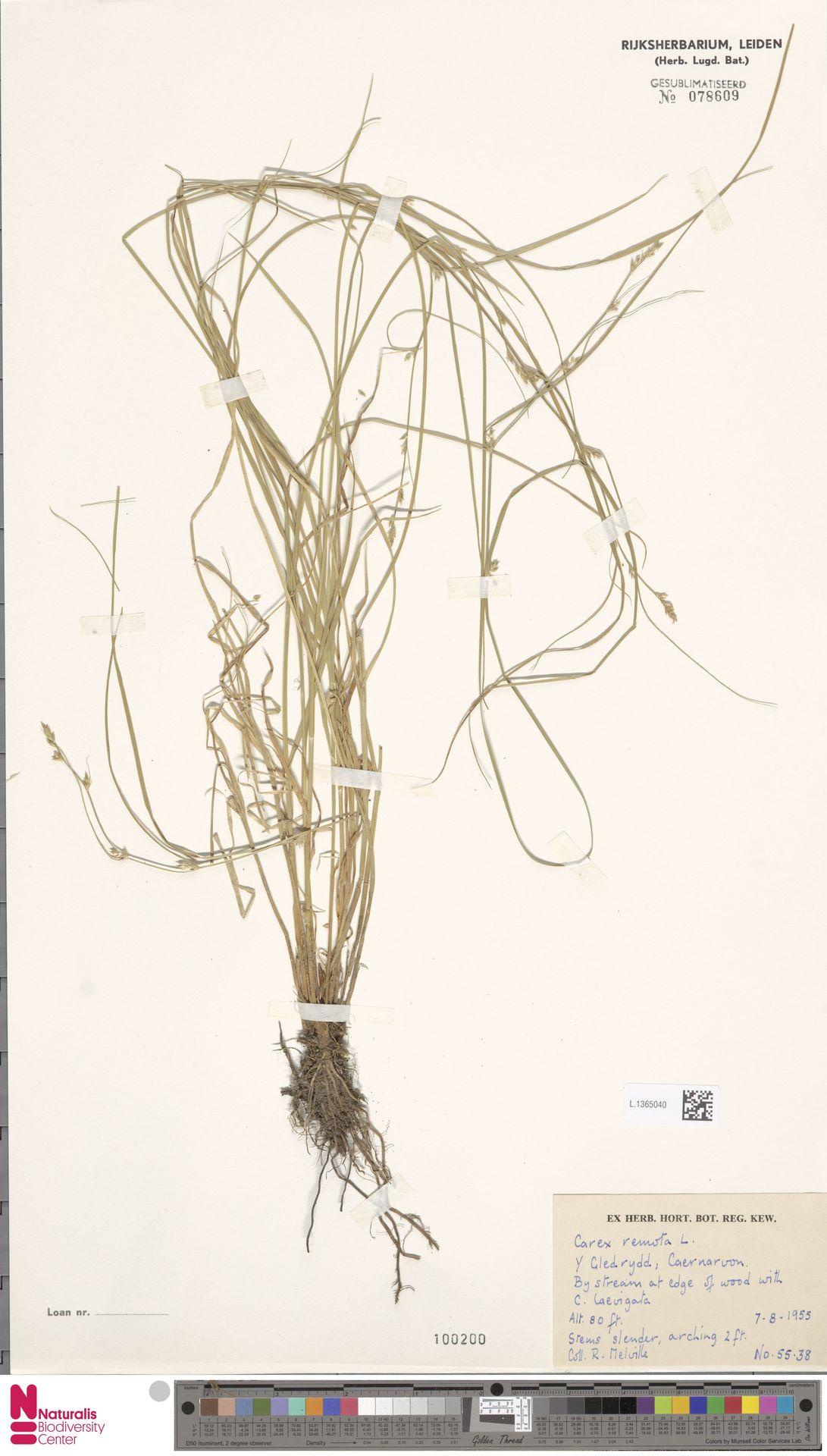 L.1365040 | Carex remota L.