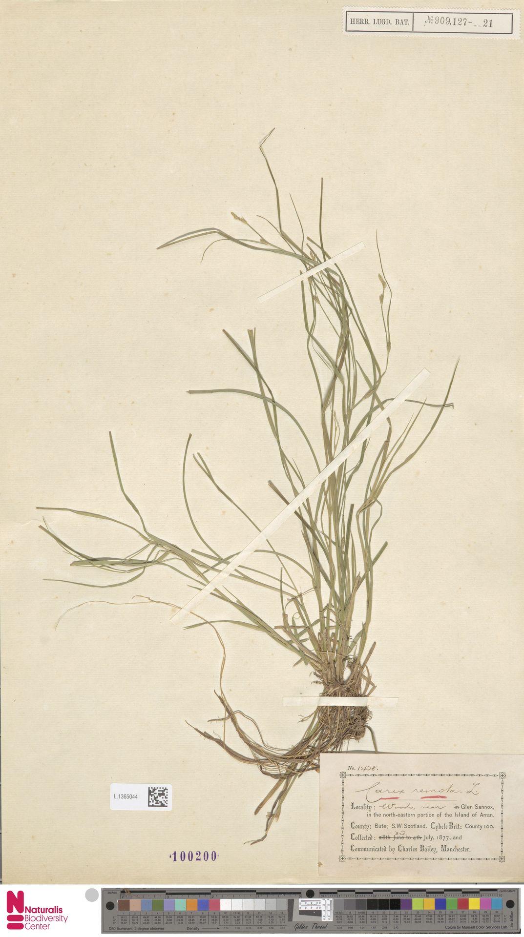 L.1365044 | Carex remota L.