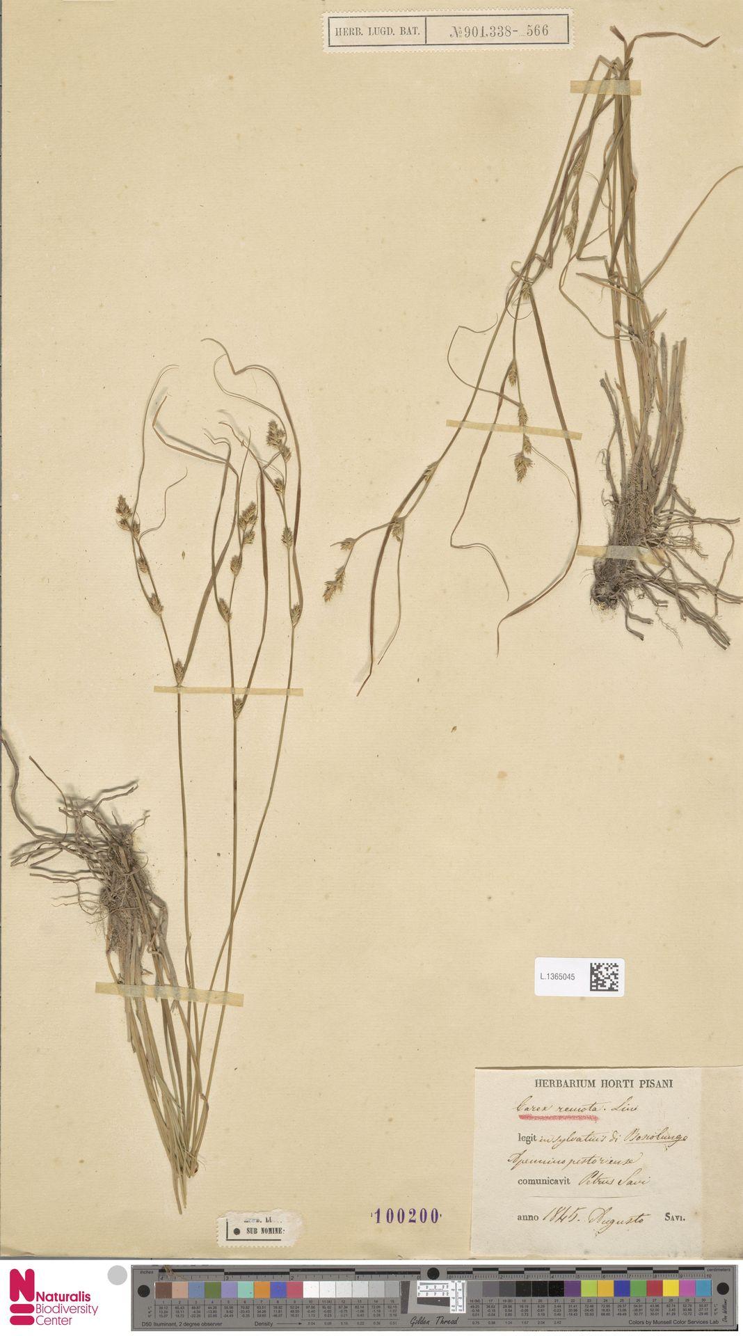 L.1365045 | Carex remota L.