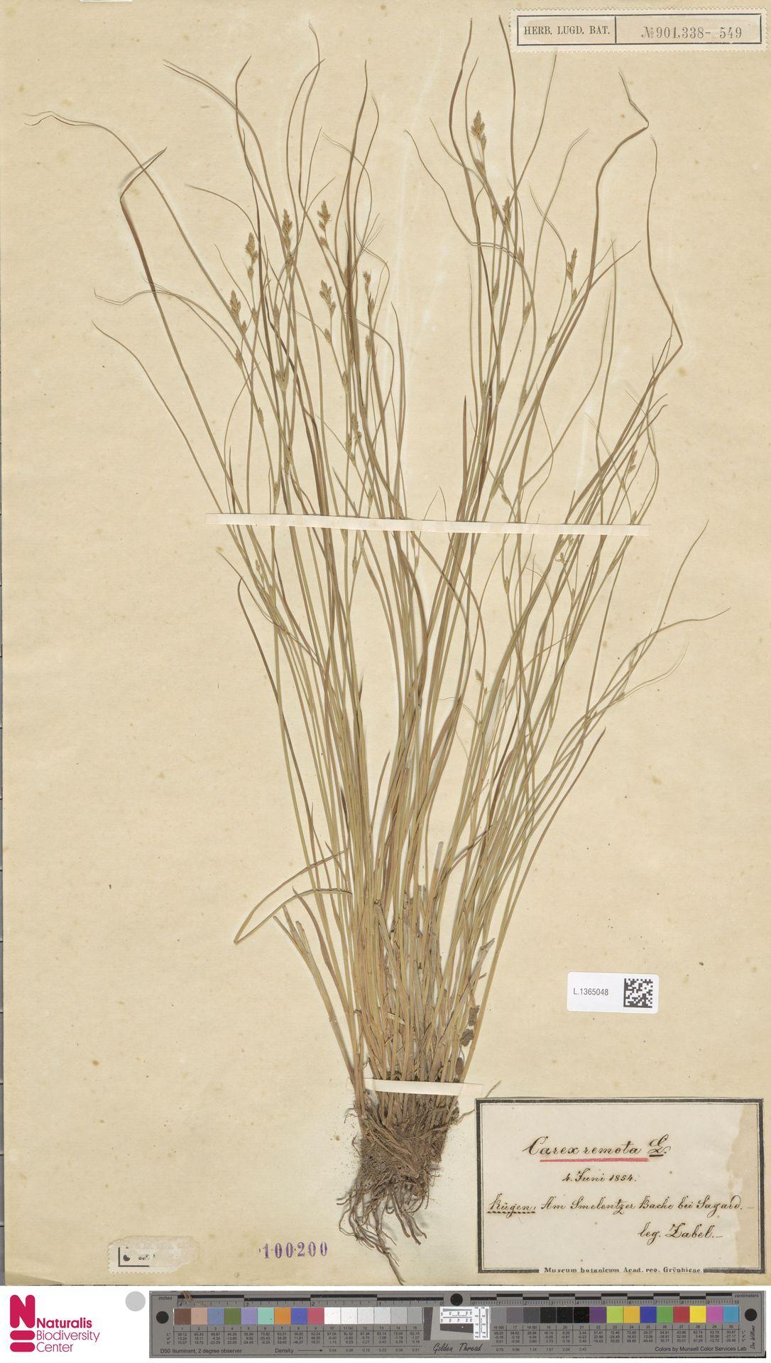 L.1365048   Carex remota L.