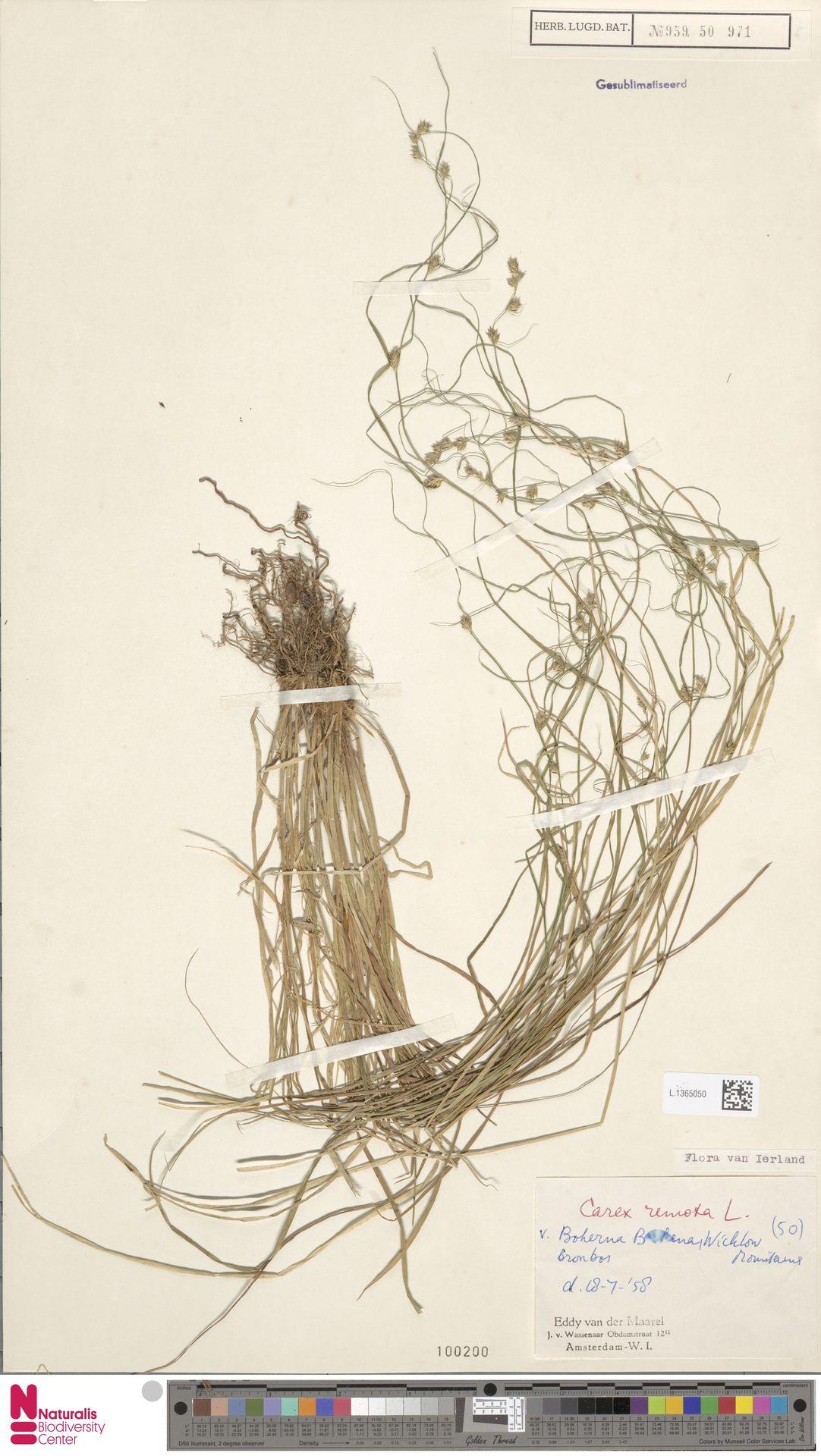 L.1365050 | Carex remota L.