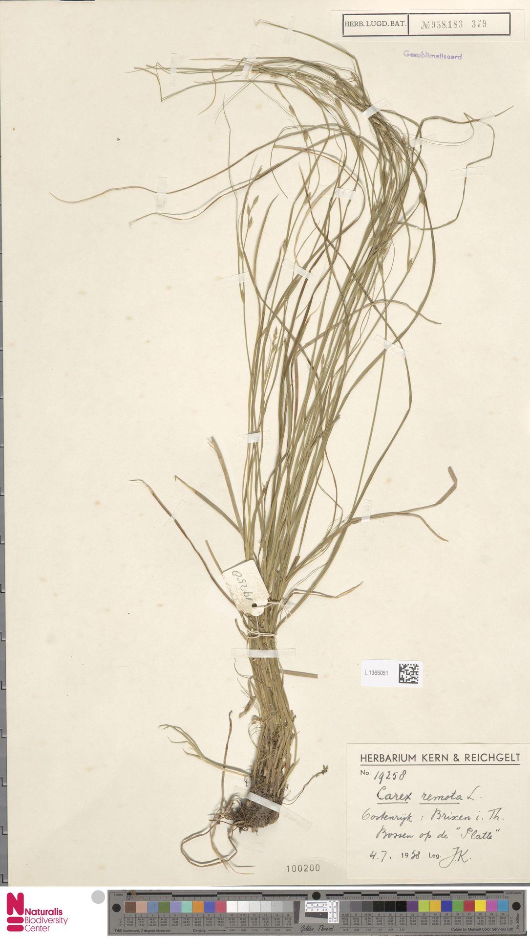 L.1365051 | Carex remota L.