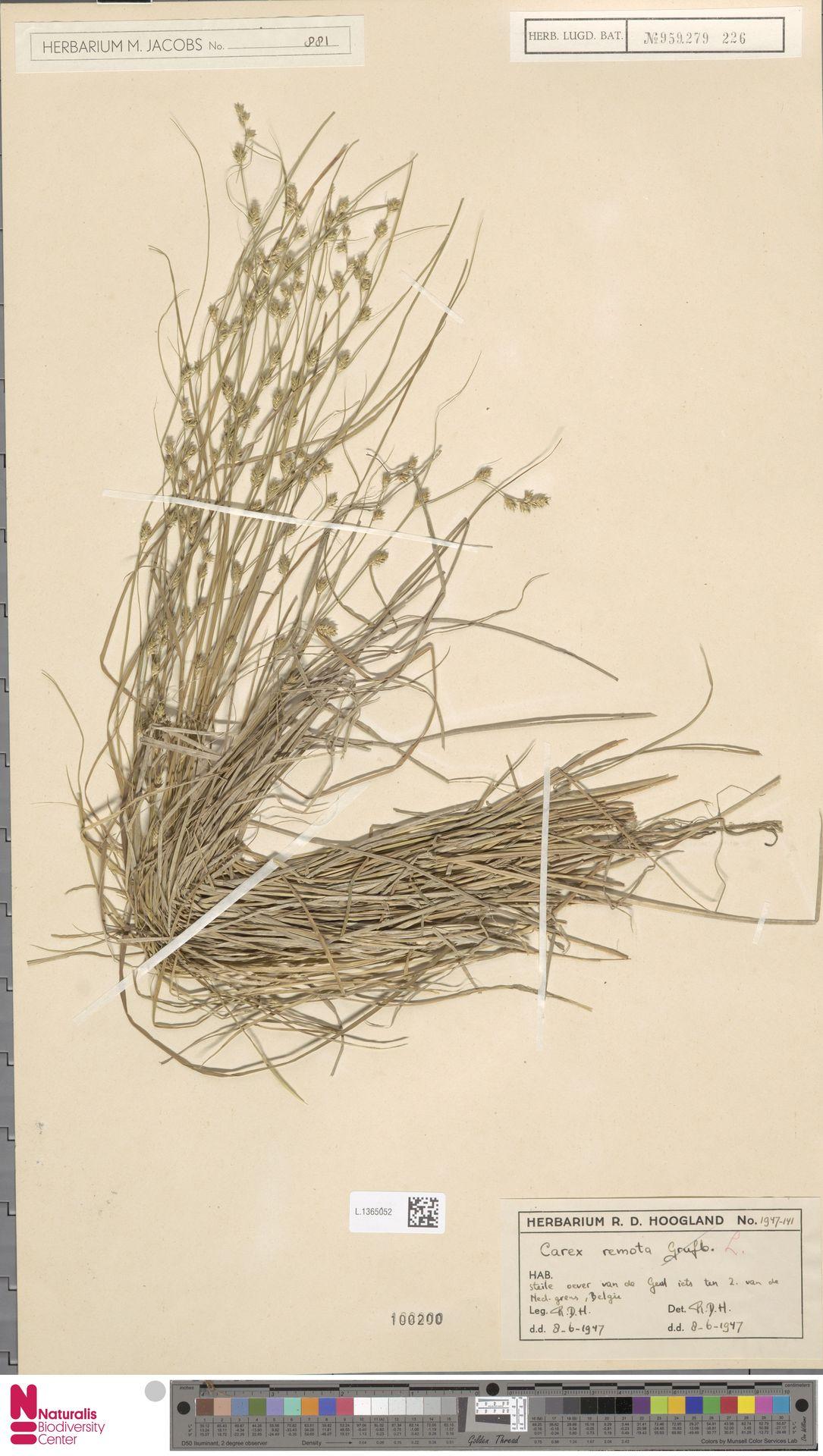L.1365052 | Carex remota L.