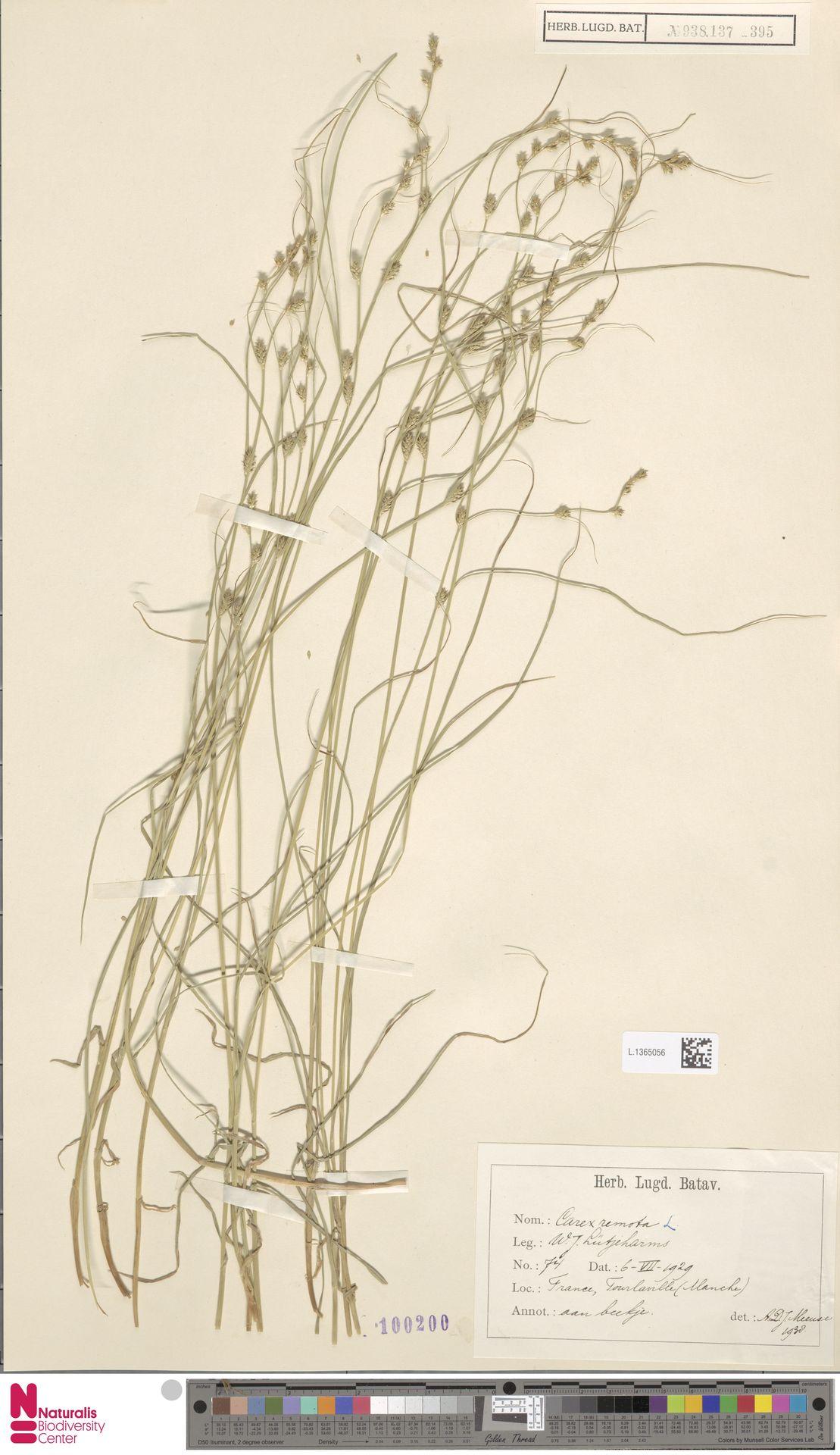 L.1365056 | Carex remota L.