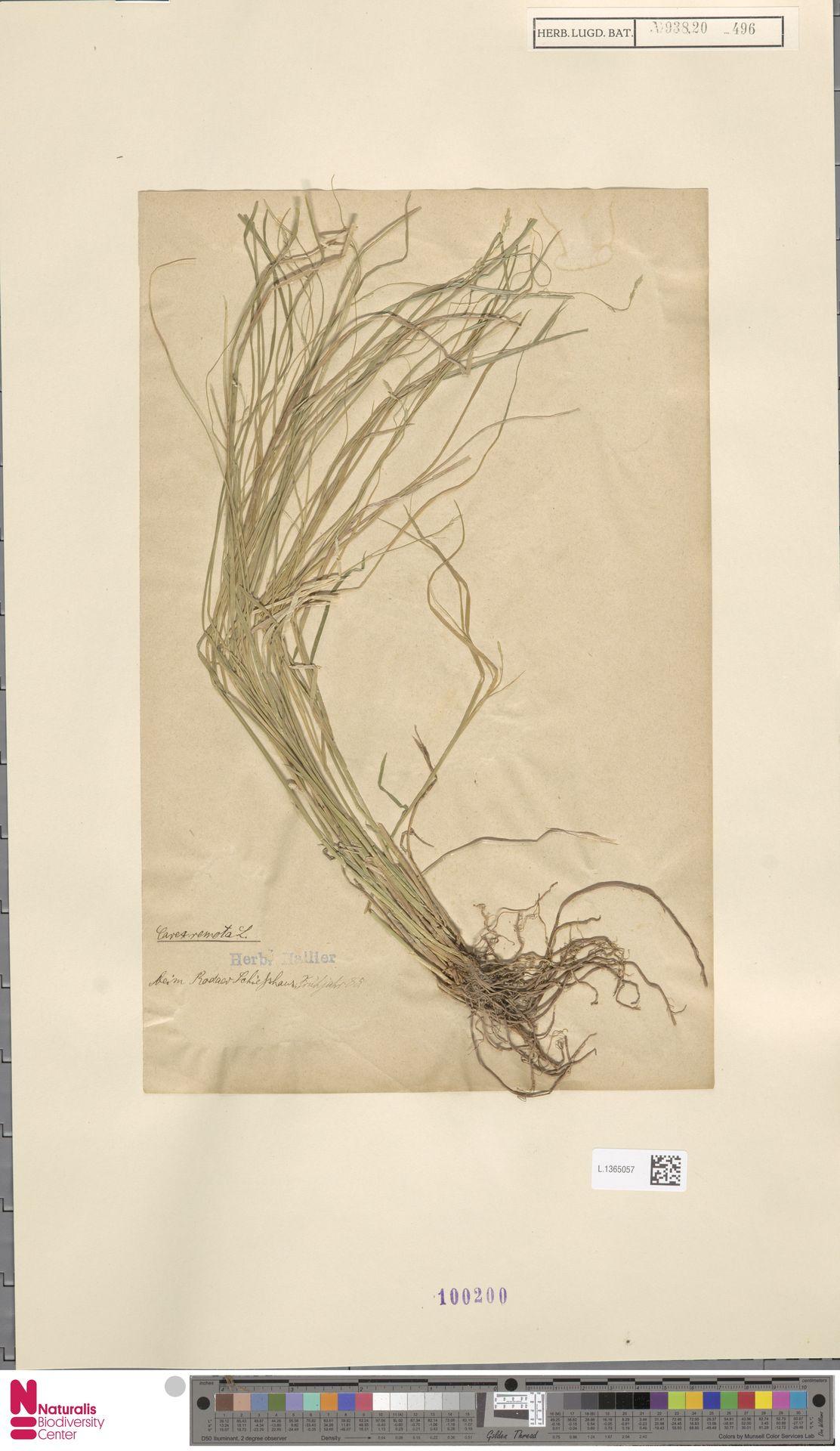 L.1365057 | Carex remota L.