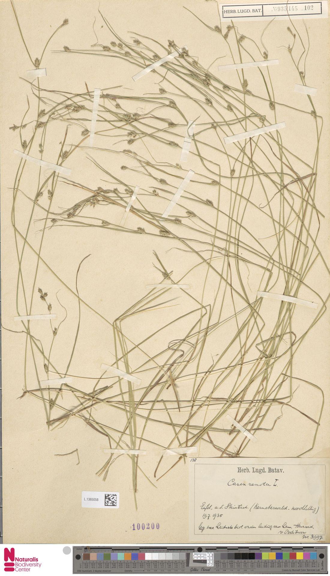 L.1365058 | Carex remota L.