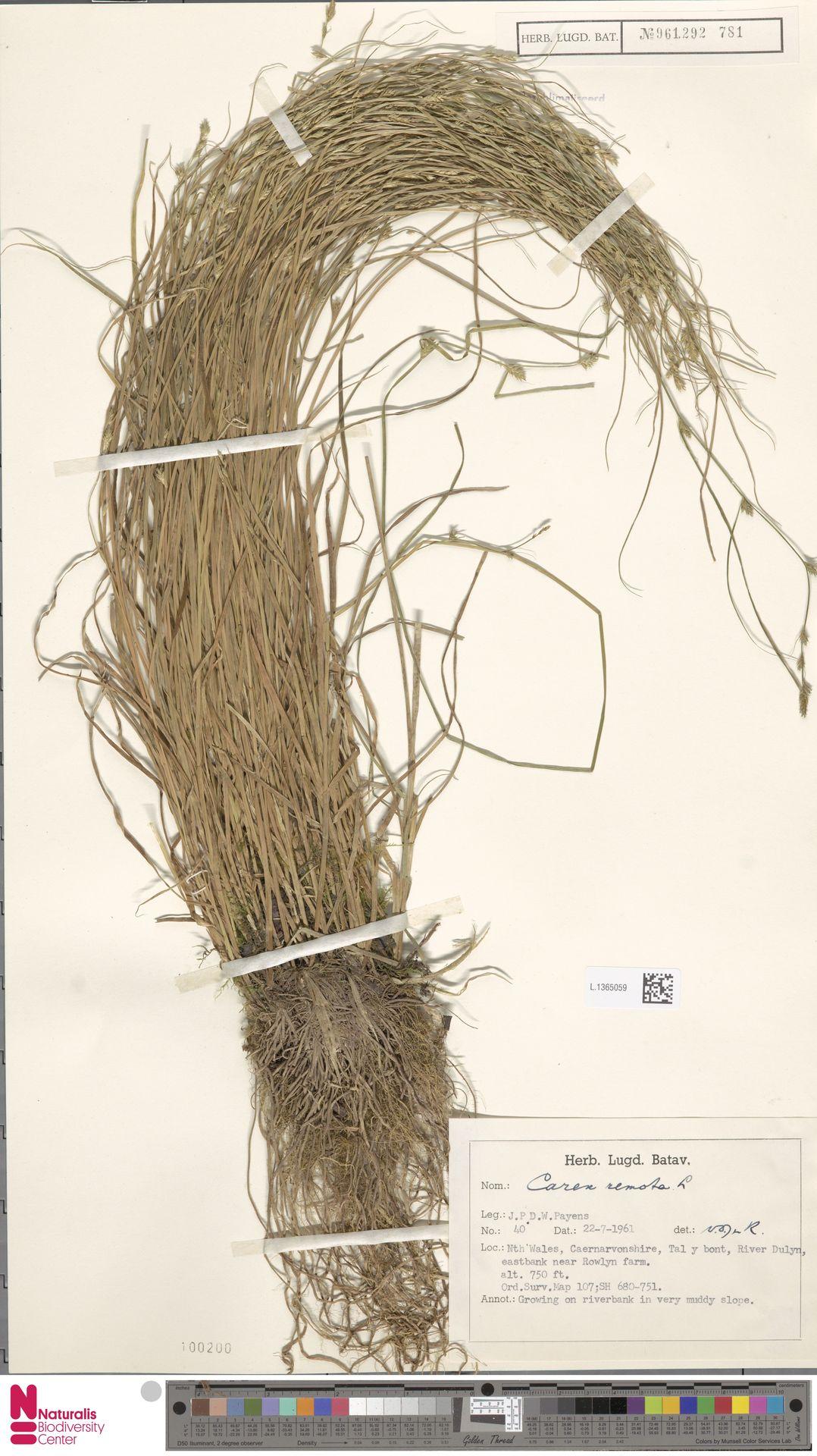 L.1365059 | Carex remota L.