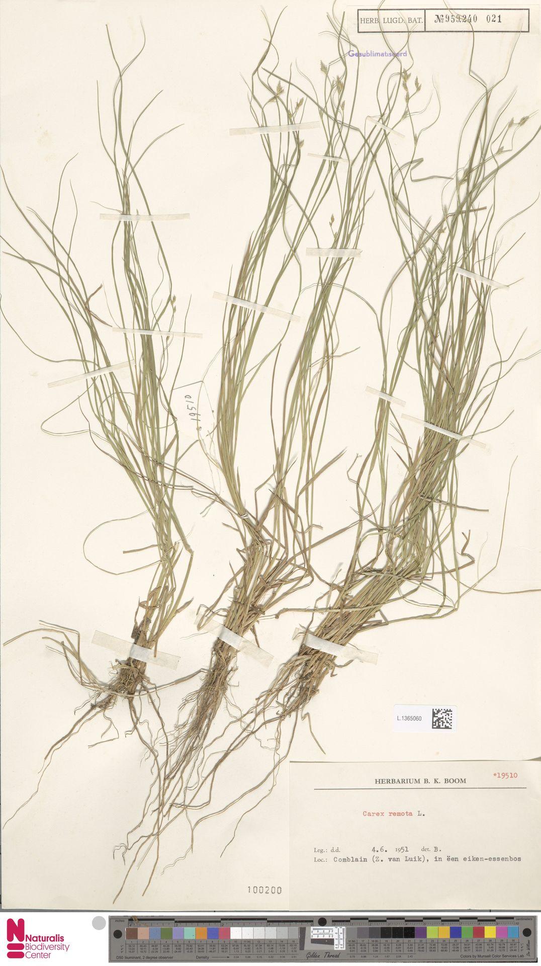 L.1365060 | Carex remota L.