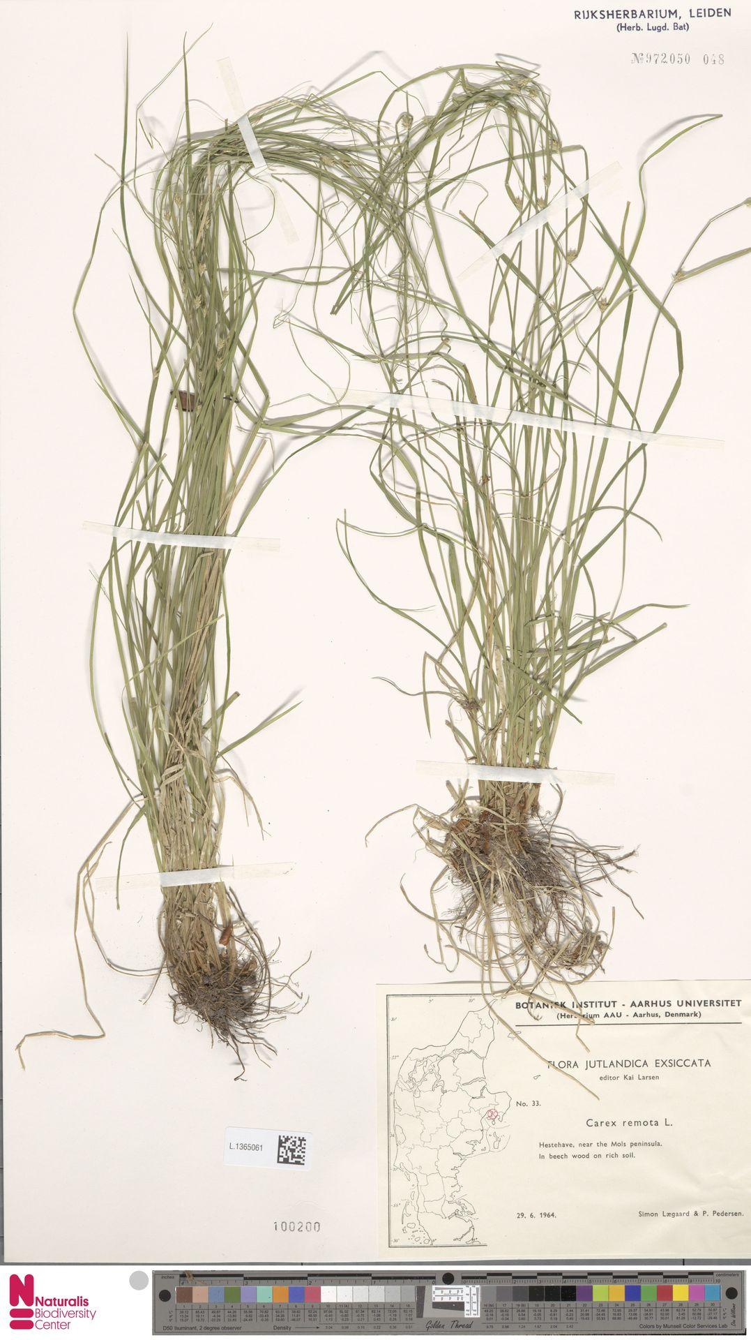 L.1365061 | Carex remota L.
